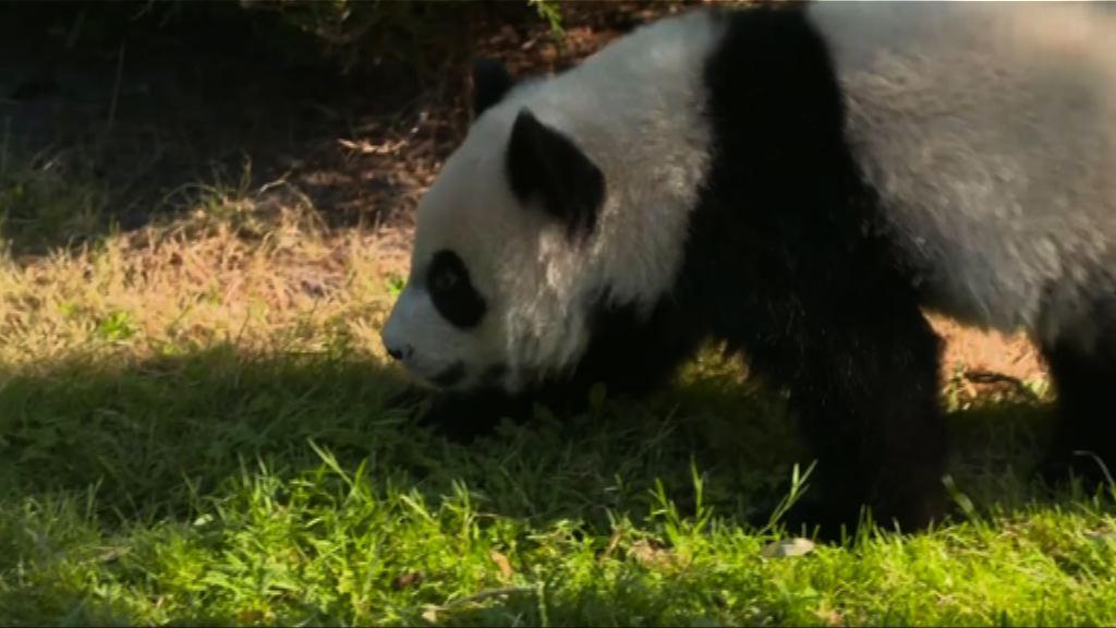 法國大熊貓「圓夢」一歲生日