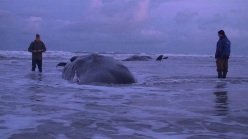 多條抹香鯨於德國及荷蘭擱淺