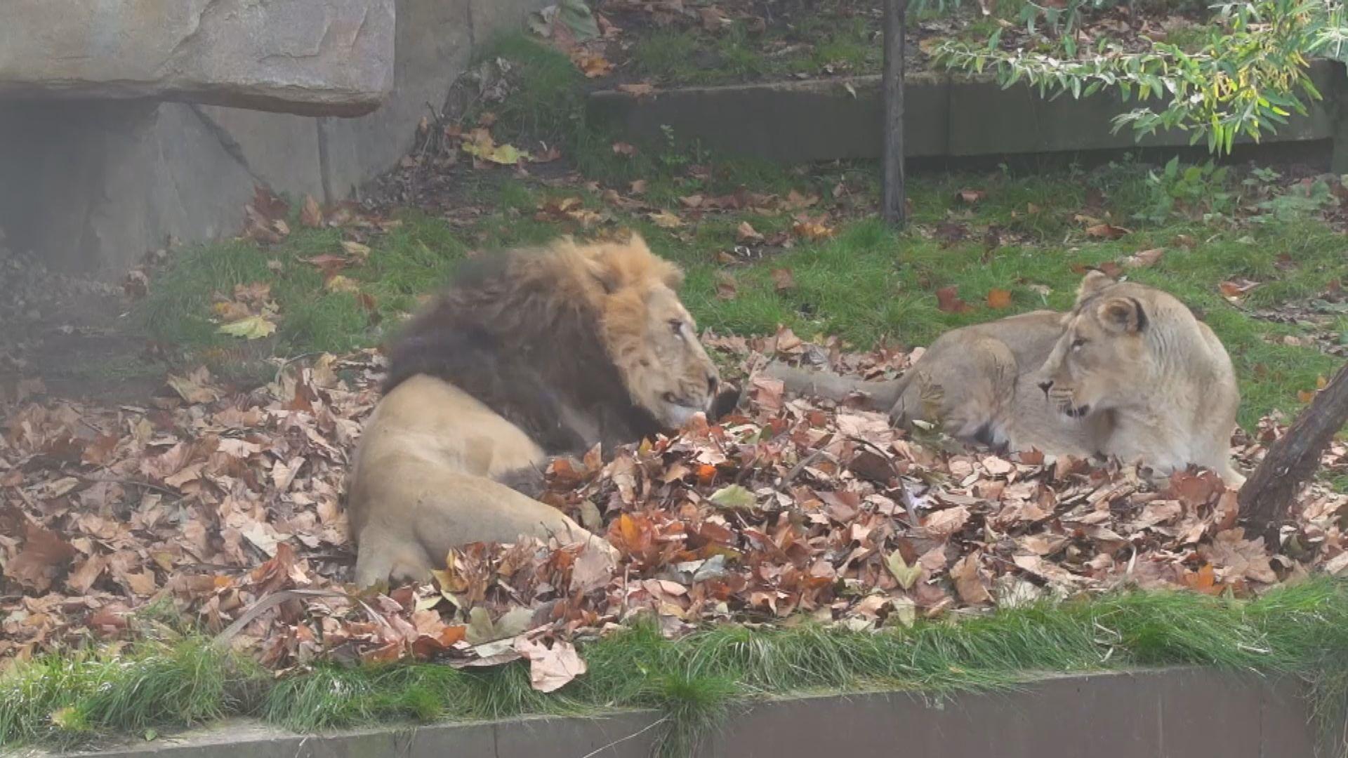 【環球薈報】倫敦動物園獅子享受與新玩具玩樂