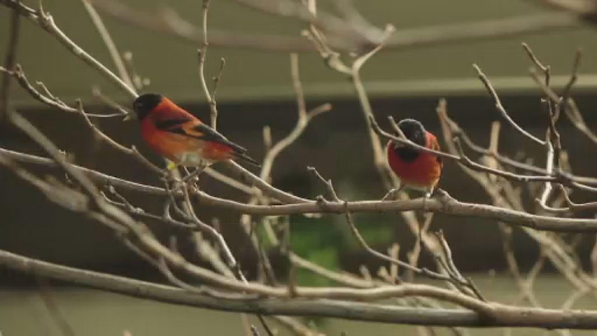 【環球薈報】科學家鼓勵咖啡農助保育瀕危雀鳥