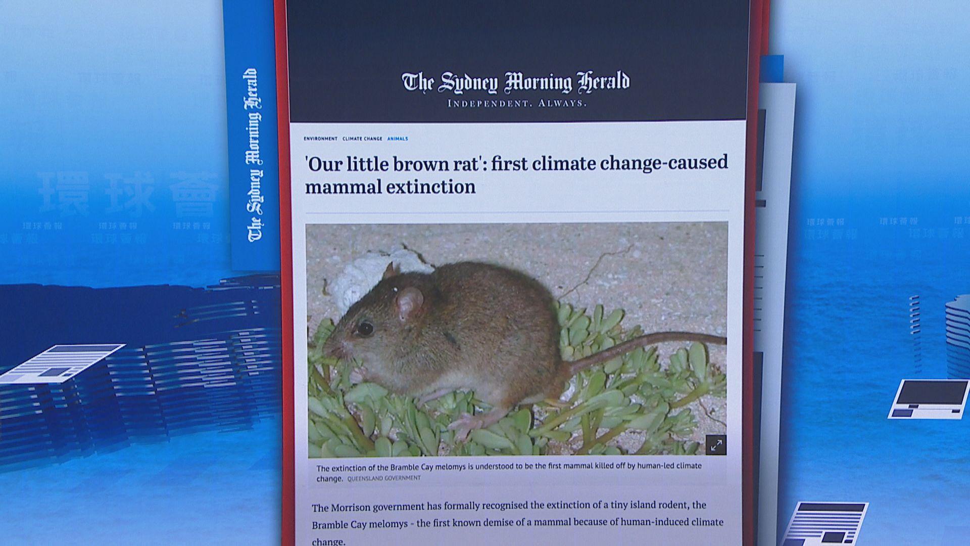 【環球薈報】大堡礁珊瑚裸尾鼠不敵氣候暖化絕種