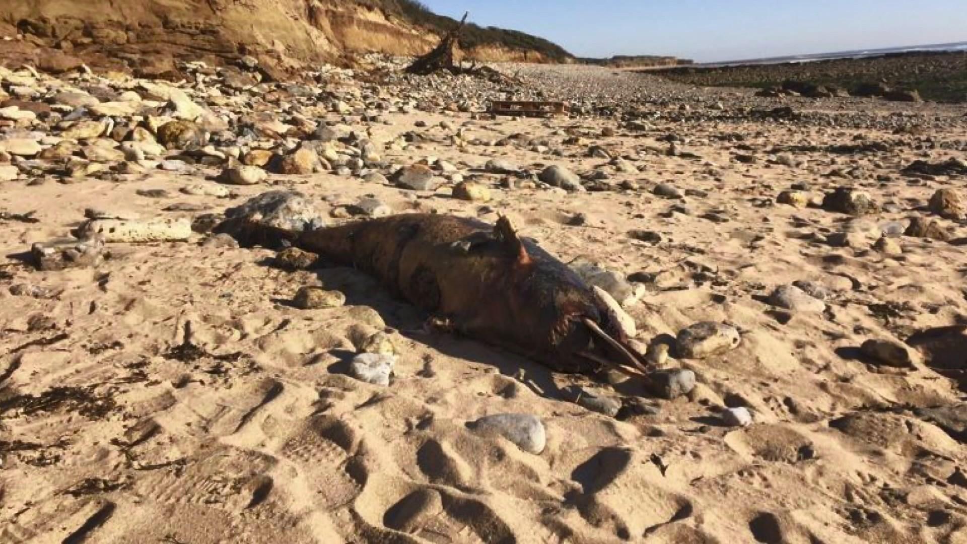 【環球薈報】法國三個月內逾千條海豚死亡