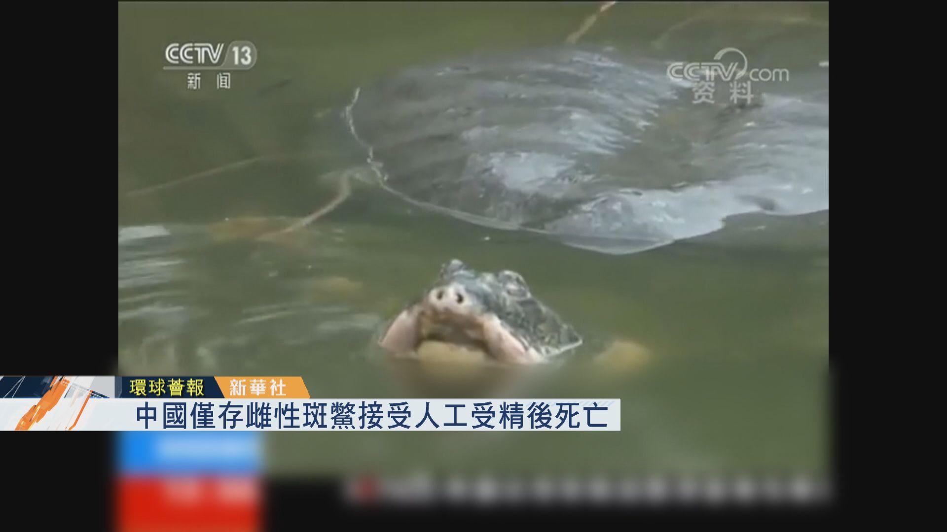 【環球薈報】中國僅存雌性斑鱉接受人工受精後死亡