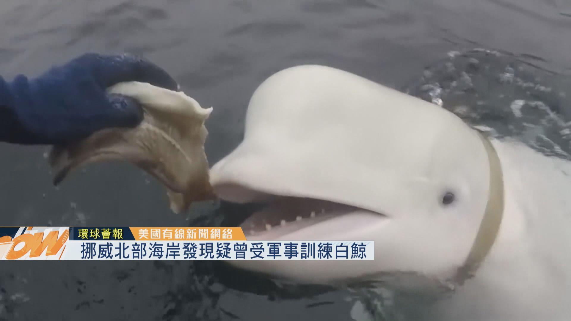 【環球薈報】挪威北部海岸發現疑曾受軍事訓練白鯨