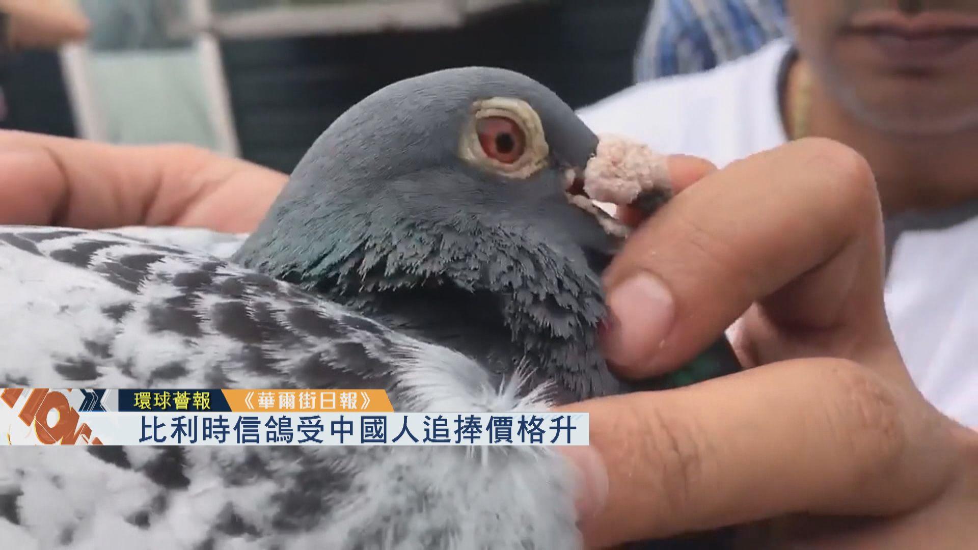 【環球薈報】比利時信鴿受中國人追捧價格飆升