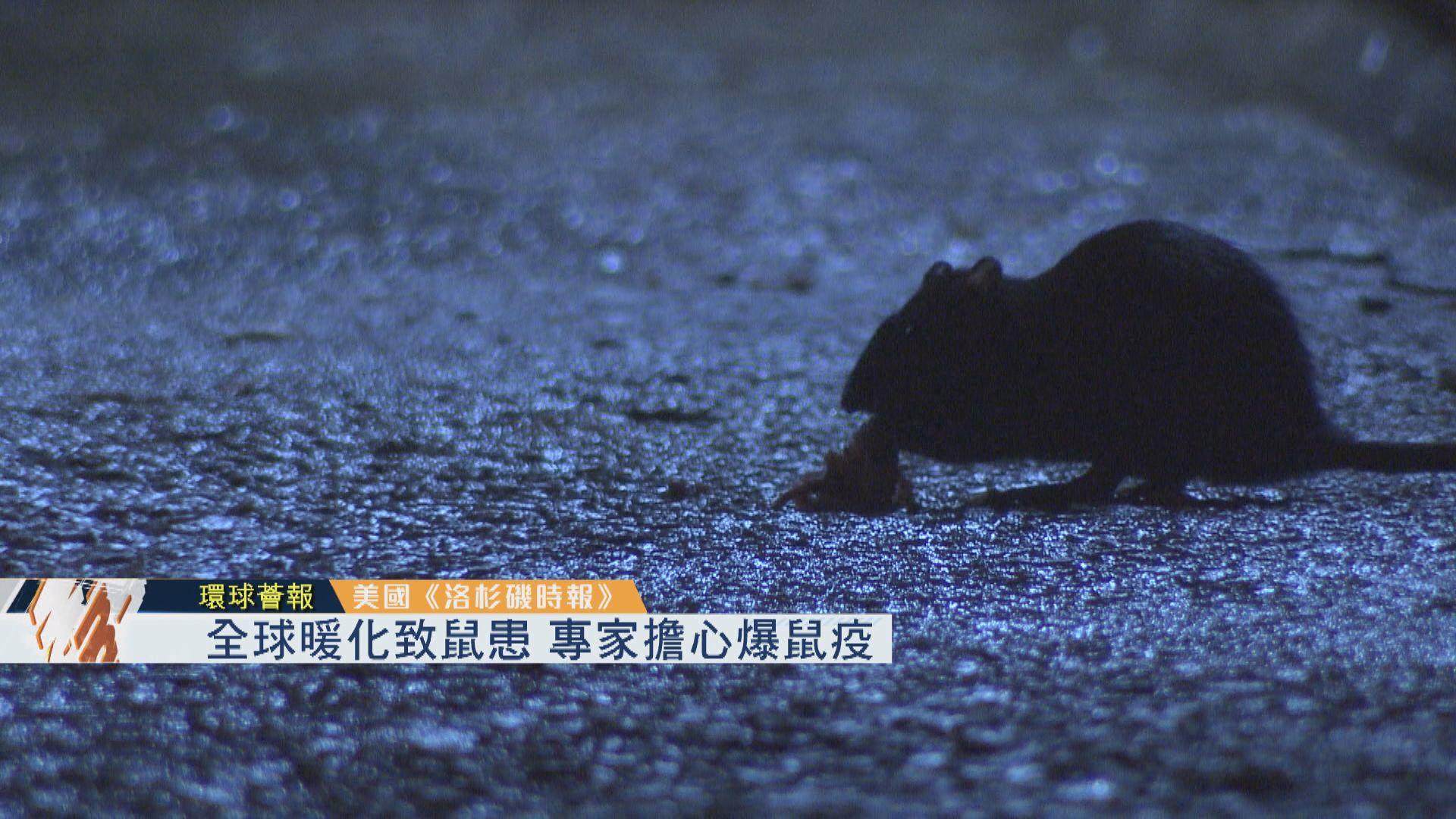 【環球薈報】全球暖化致鼠患 專家擔心爆鼠疫