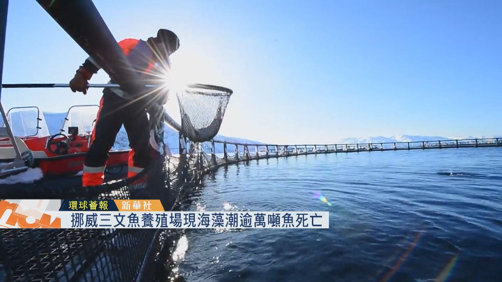 【環球薈報】挪威三文魚養殖場現海藻潮逾萬噸魚死亡