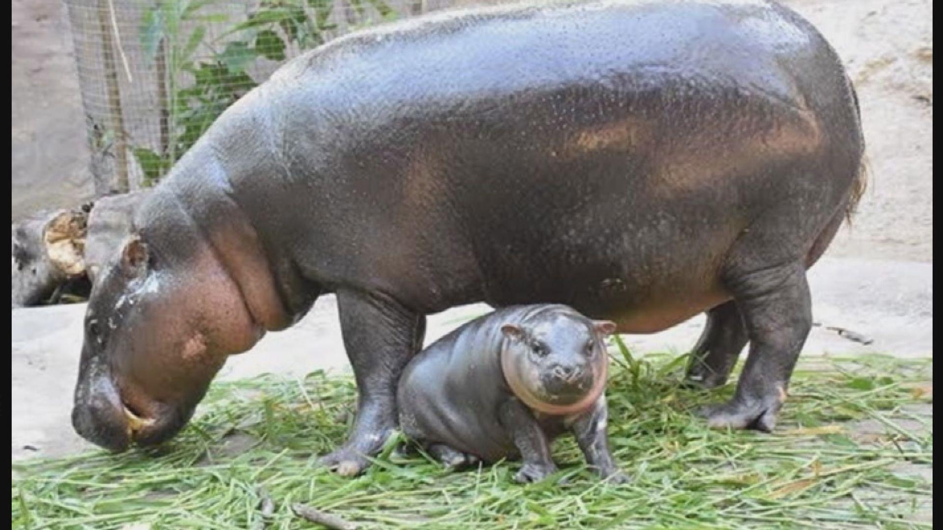 【環球薈報】網民票選為泰國初生侏儒河馬取名字