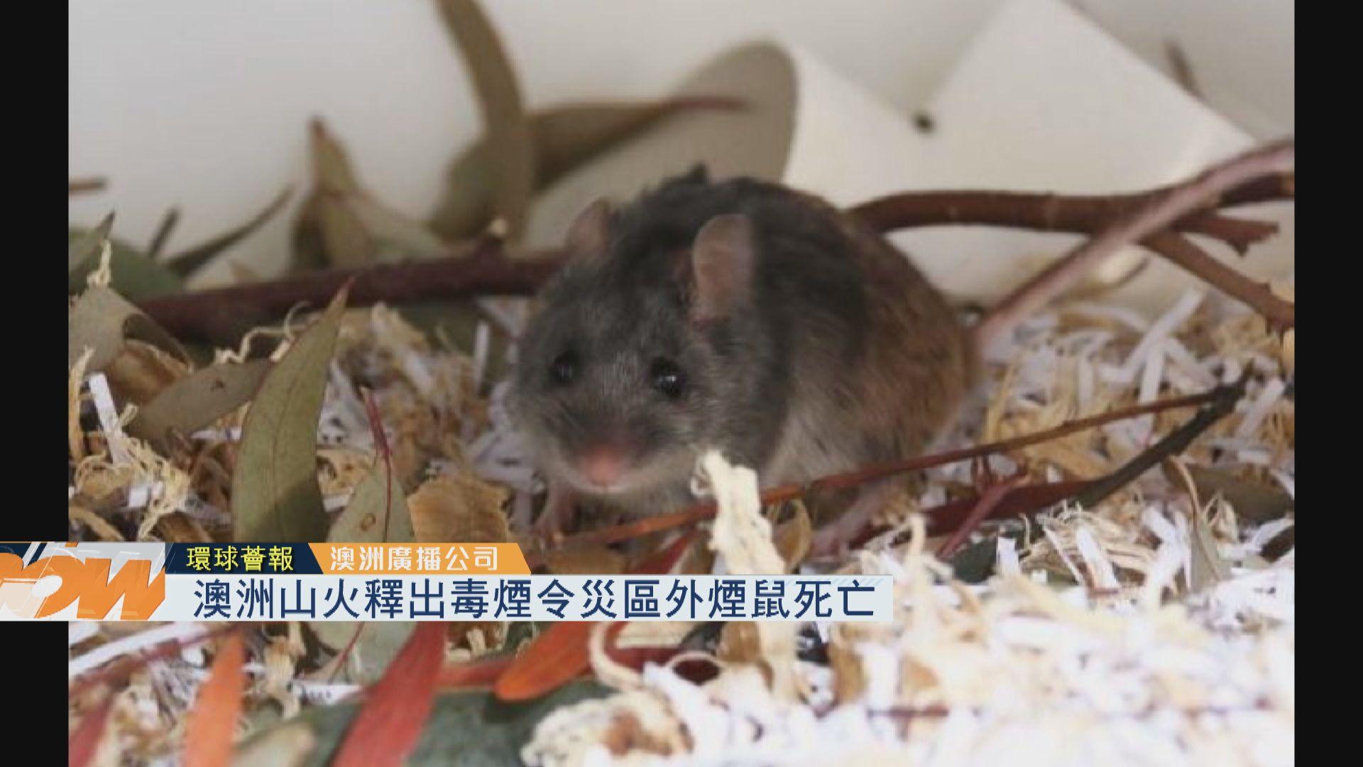 【環球薈報】澳洲山火釋出毒煙令災區外煙鼠死亡