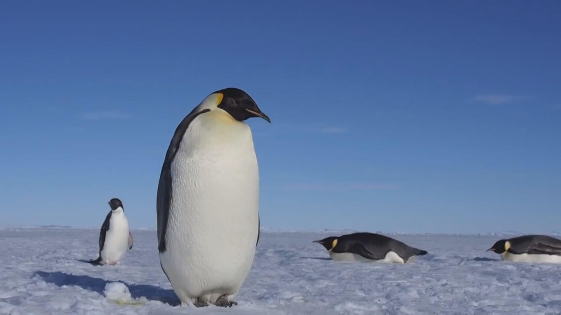 【環球薈報】新西蘭南島發現巨型古企鵝骸骨化石