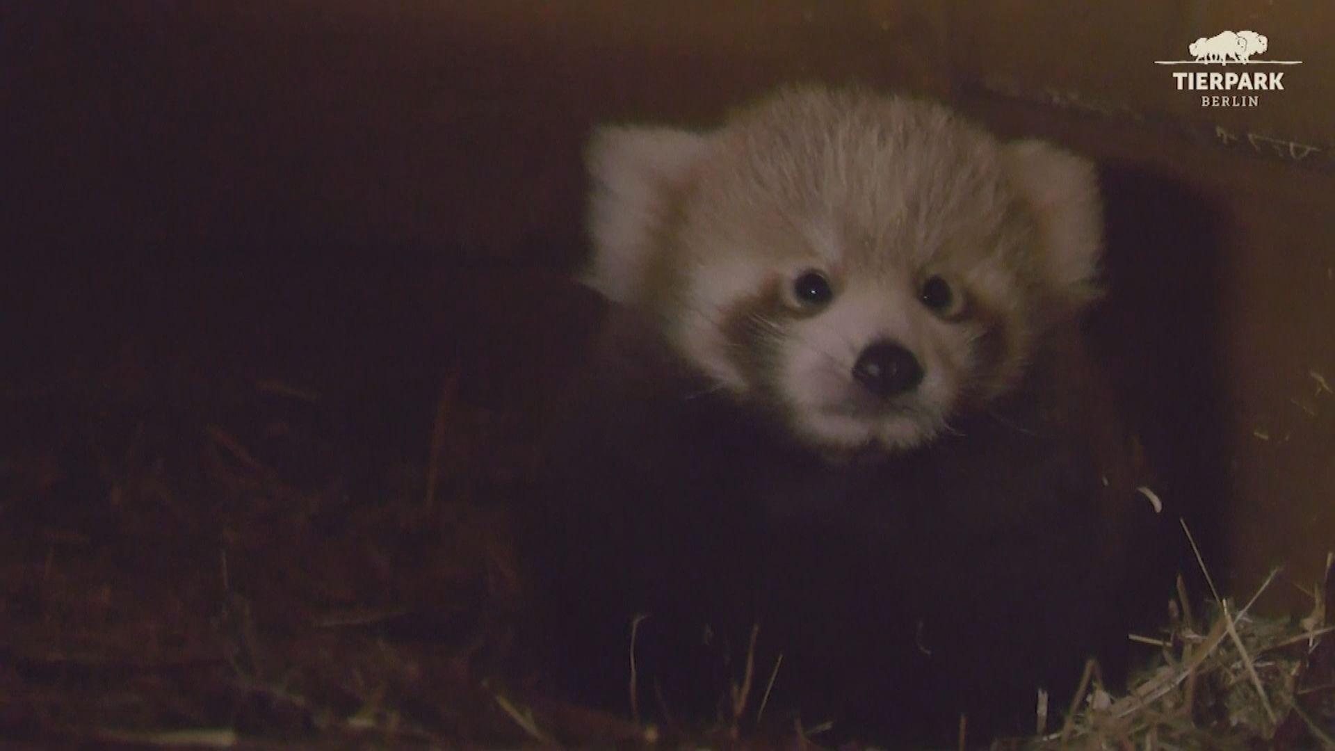 【環球薈報】德國動物園誕瀕危小熊貓