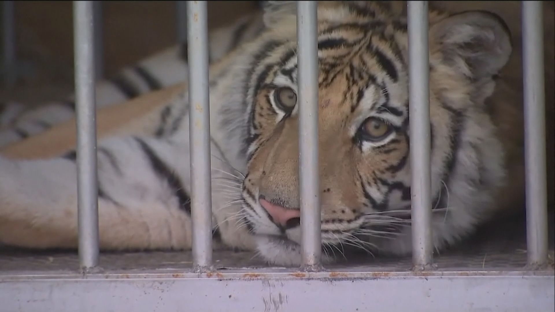 【環球薈報】得州警方尋回失蹤9個月大幼虎