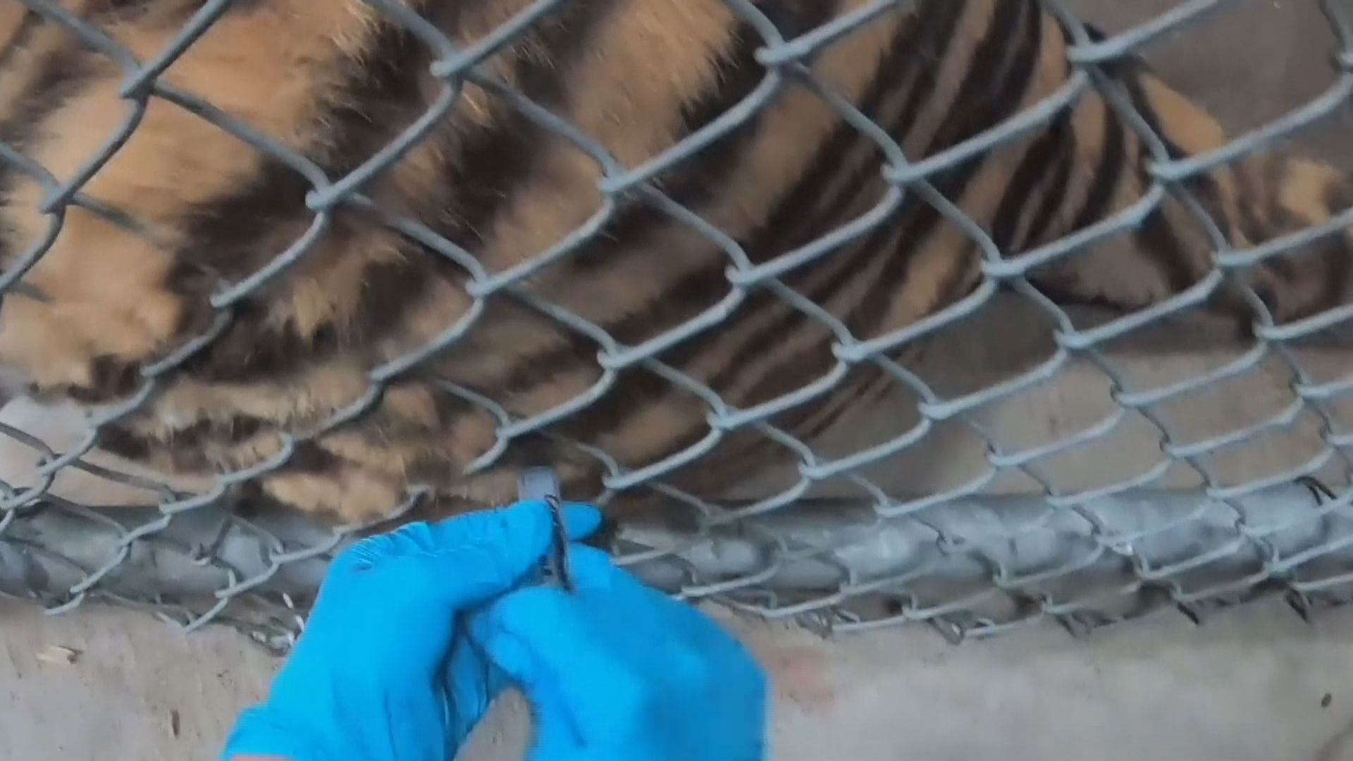 【環球薈報】美國加州有動物園為動物接種新冠疫苗