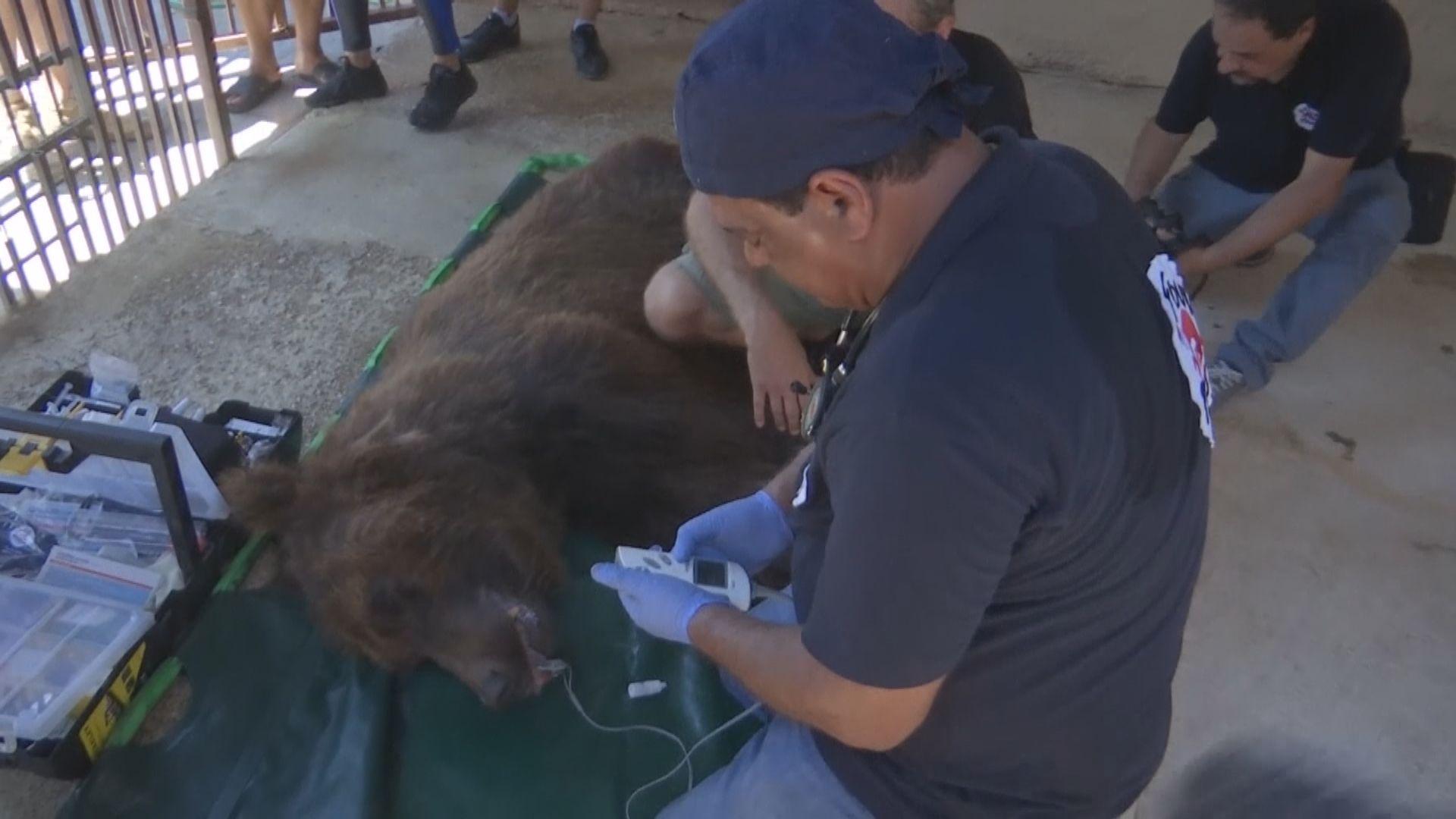 【環球薈報】黎巴嫰動保組織將兩棕熊送美國放歸大自然