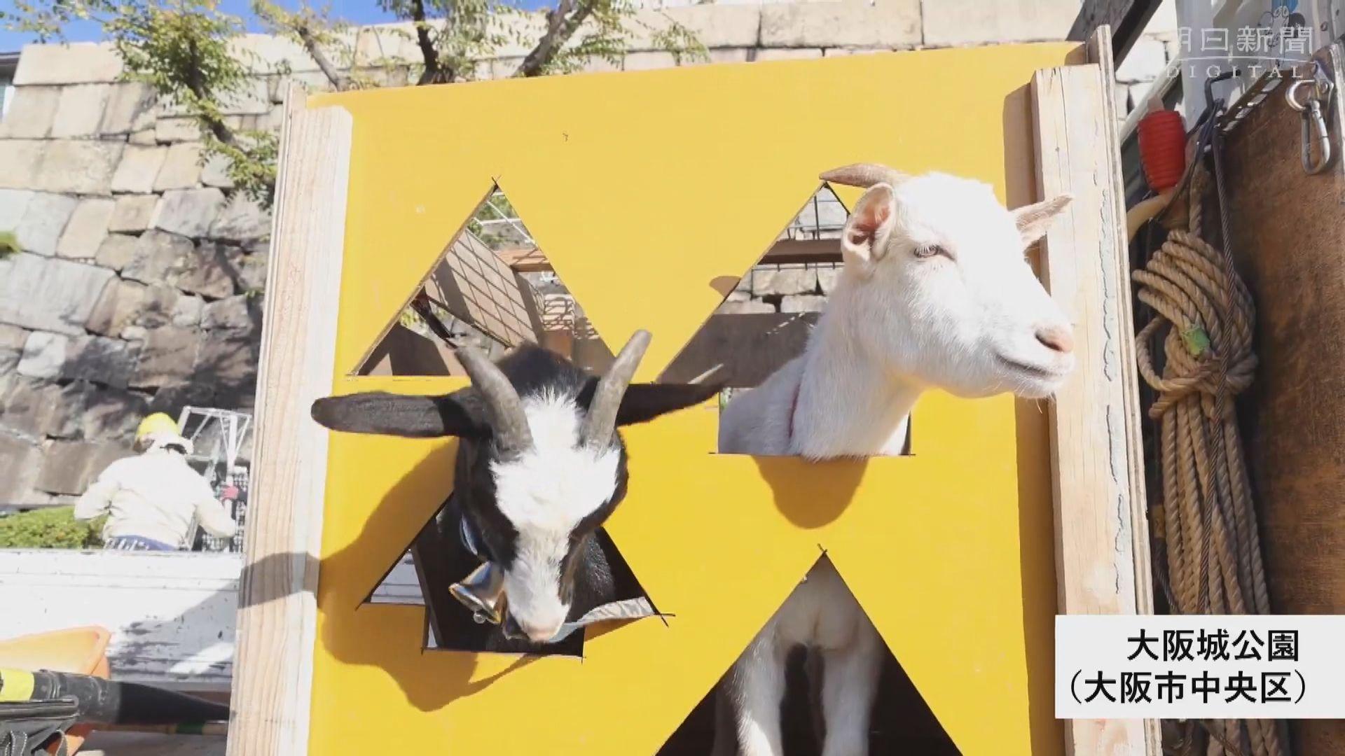 【環球薈報】大阪城公園人氣黑白山羊協助除草