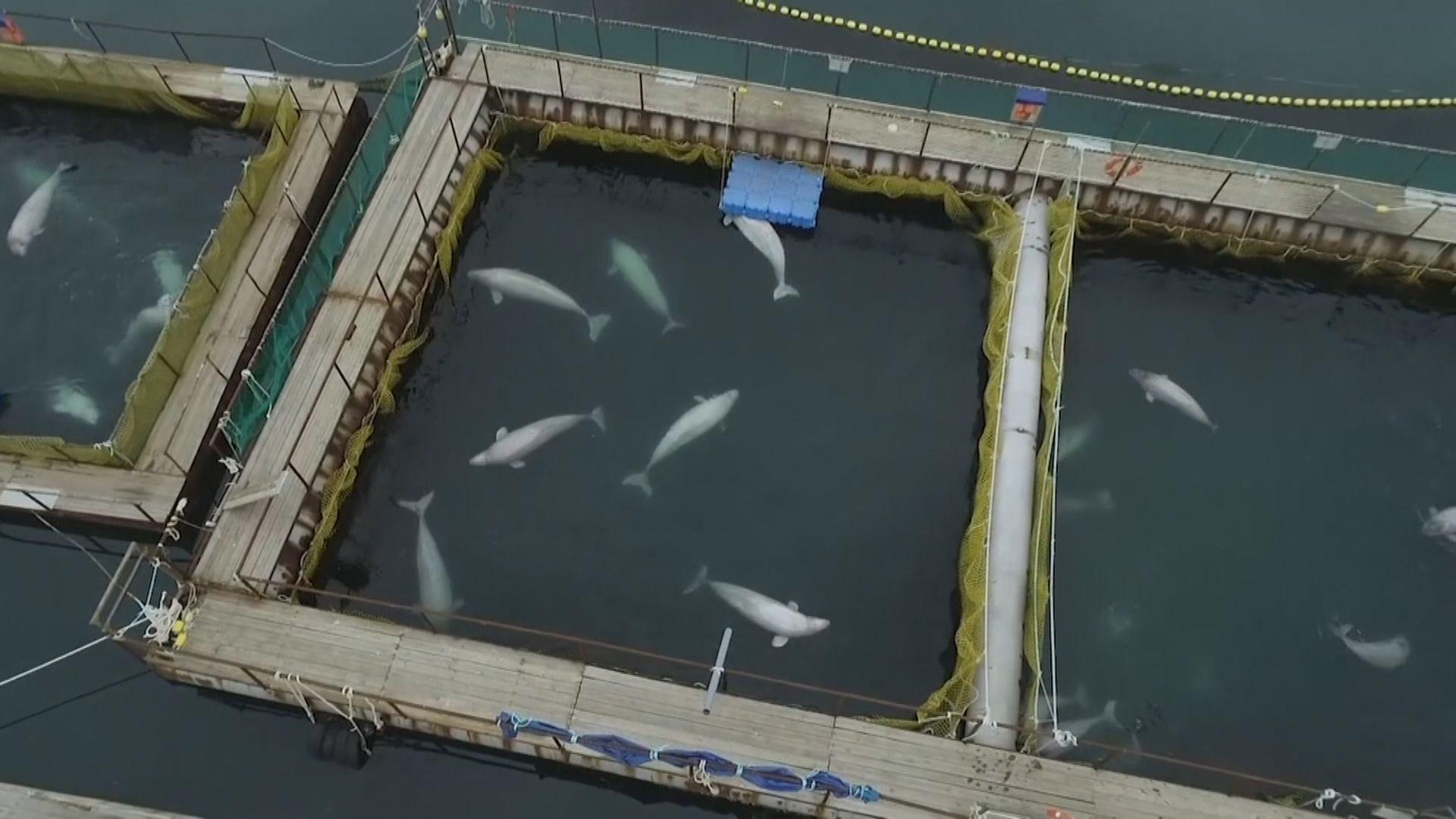 【環球薈報】俄羅斯放生百條非法捕撈鯨魚