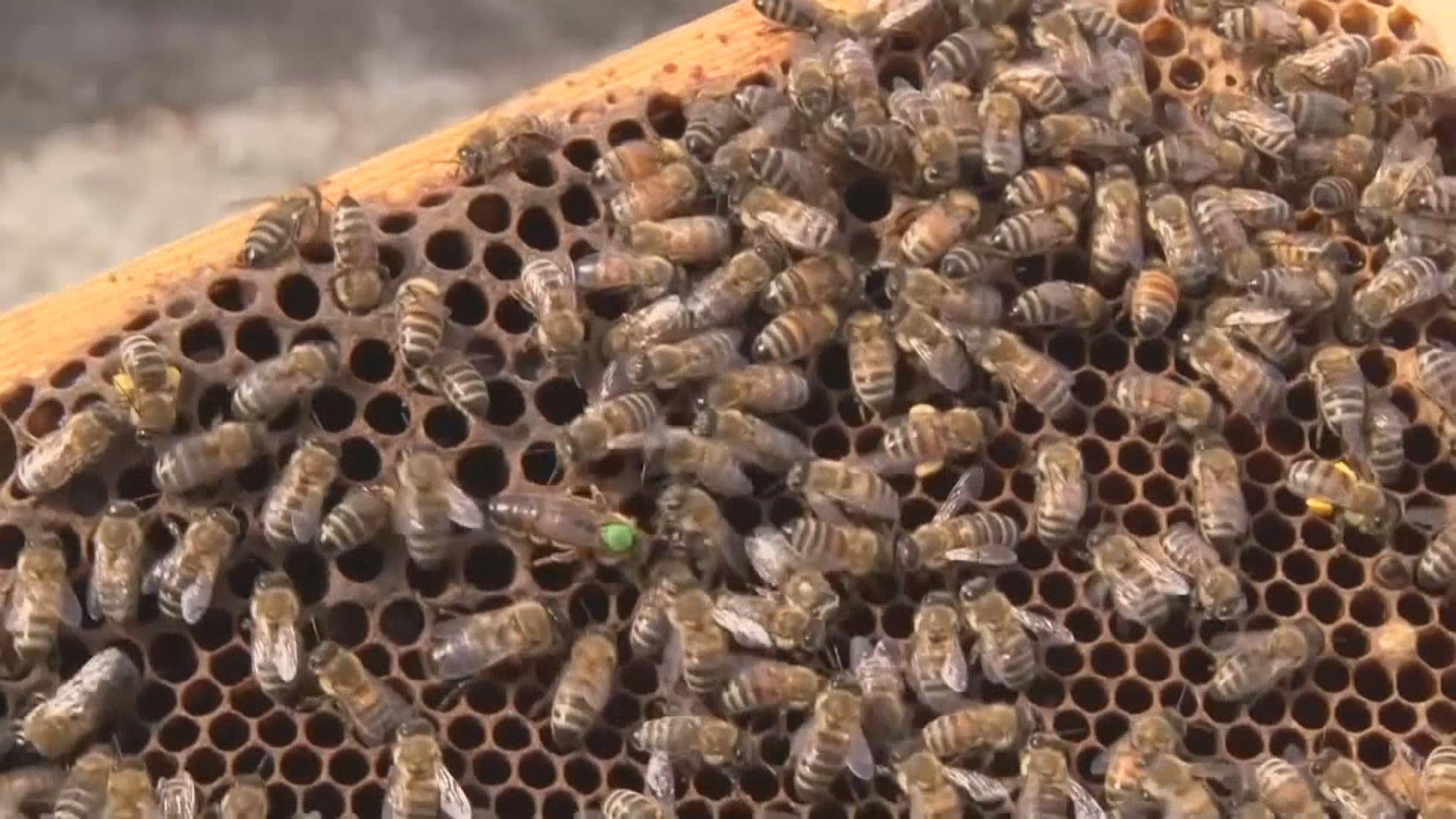 【環球薈報】俄羅斯部分地區蜜蜂數量銳減