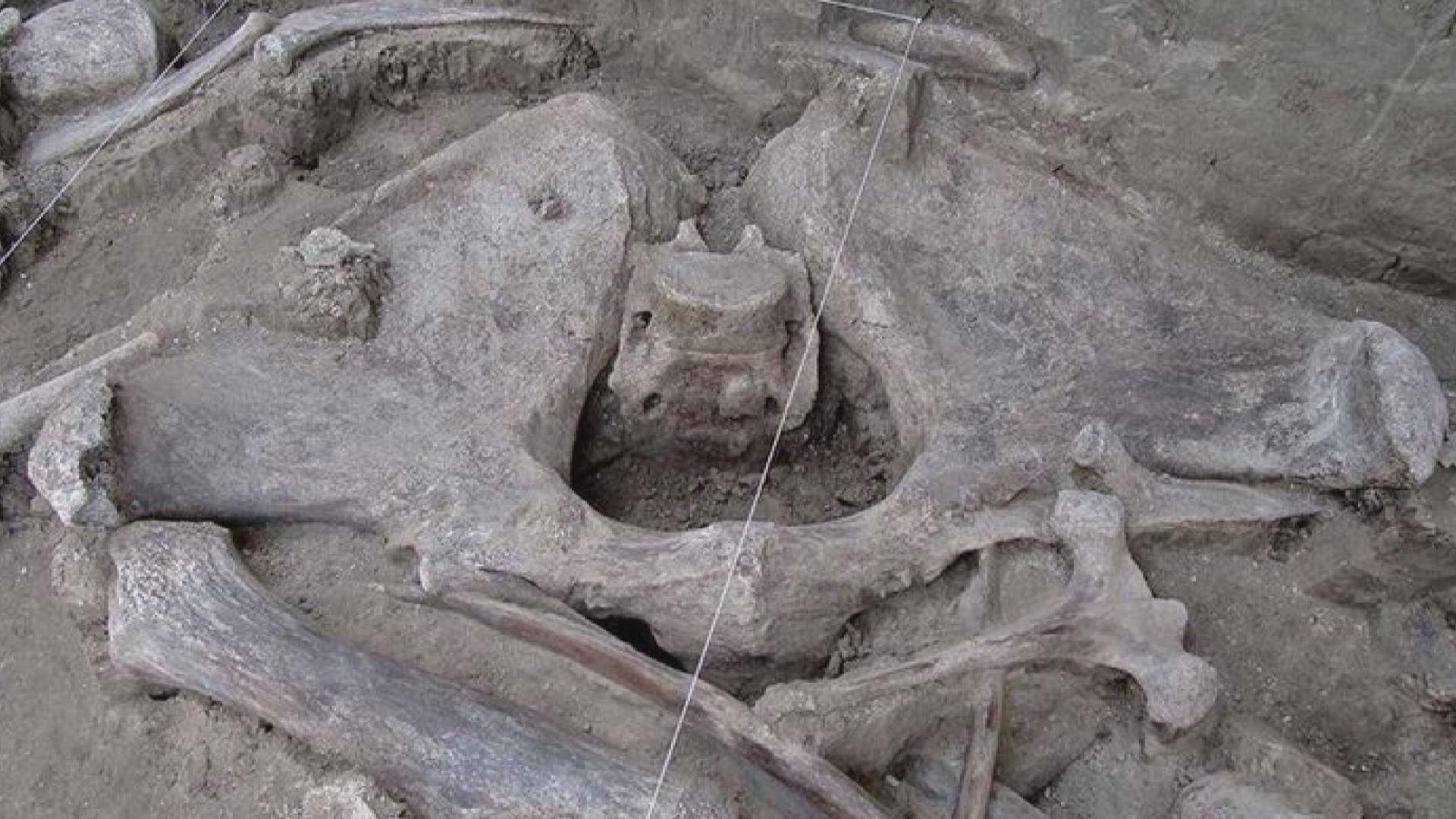 【環球薈報】考古學家發現首個人類捕捉長毛象陷阱