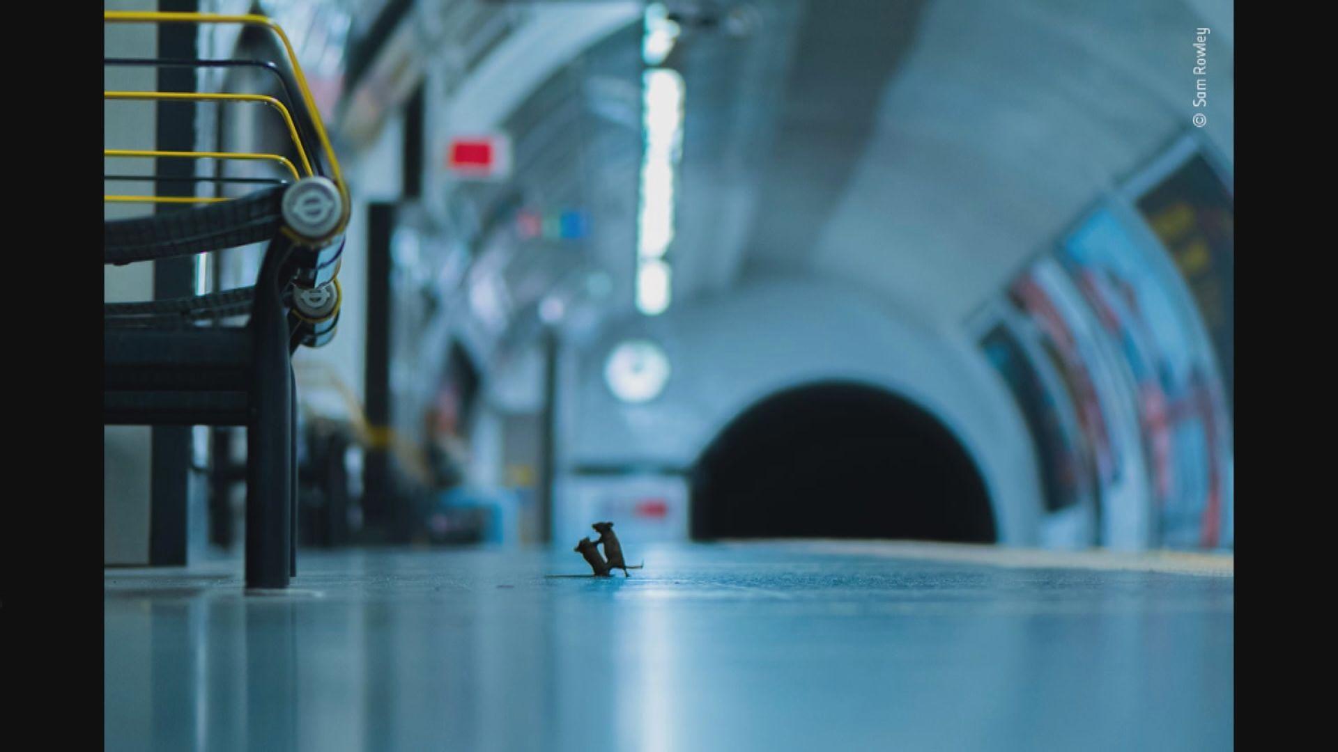 【環球薈報】倫敦地鐵老鼠打架照片贏攝影大獎