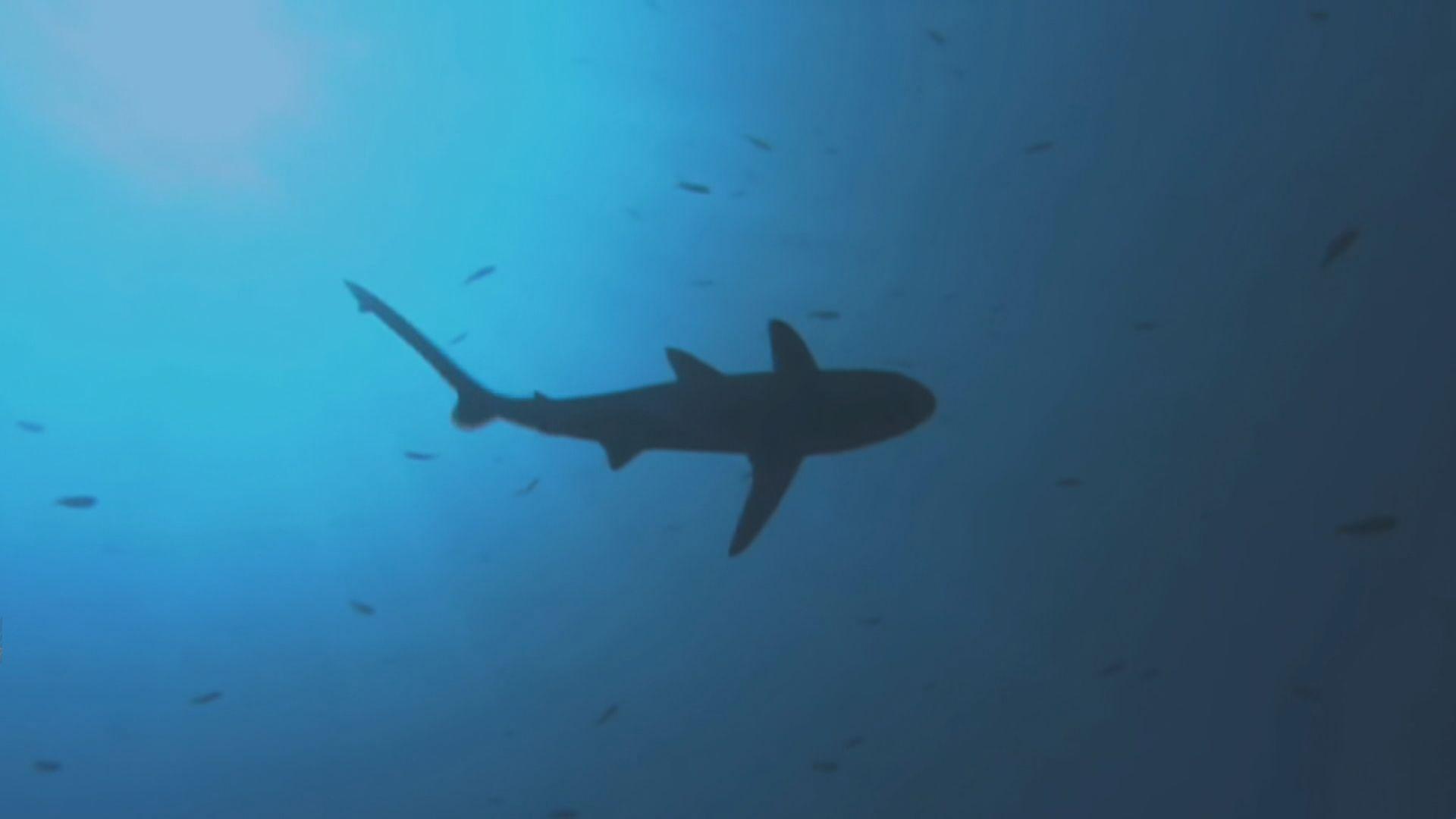 【環球薈報】研究指鯊魚數量銳減出現功能性滅絕
