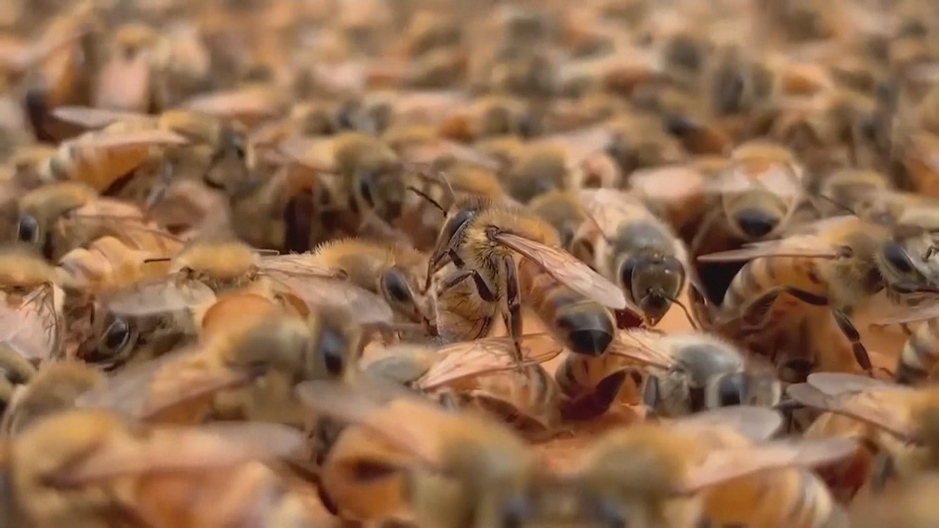 【環球薈報】科學家發現蜜蜂毒液可摧毀惡性乳癌細胞