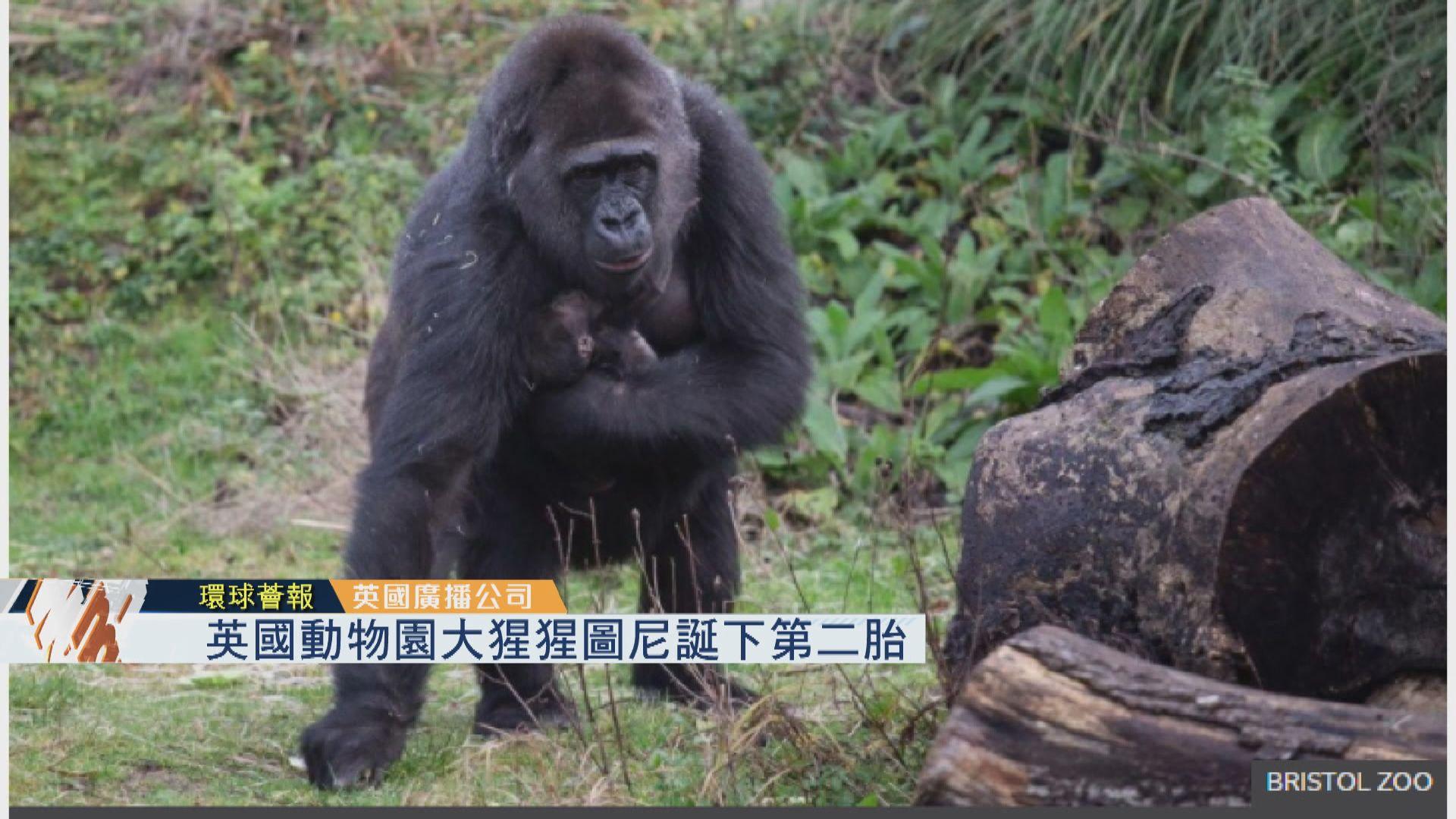 【環球薈報】英國動物園大猩猩圖尼誕下第二胎