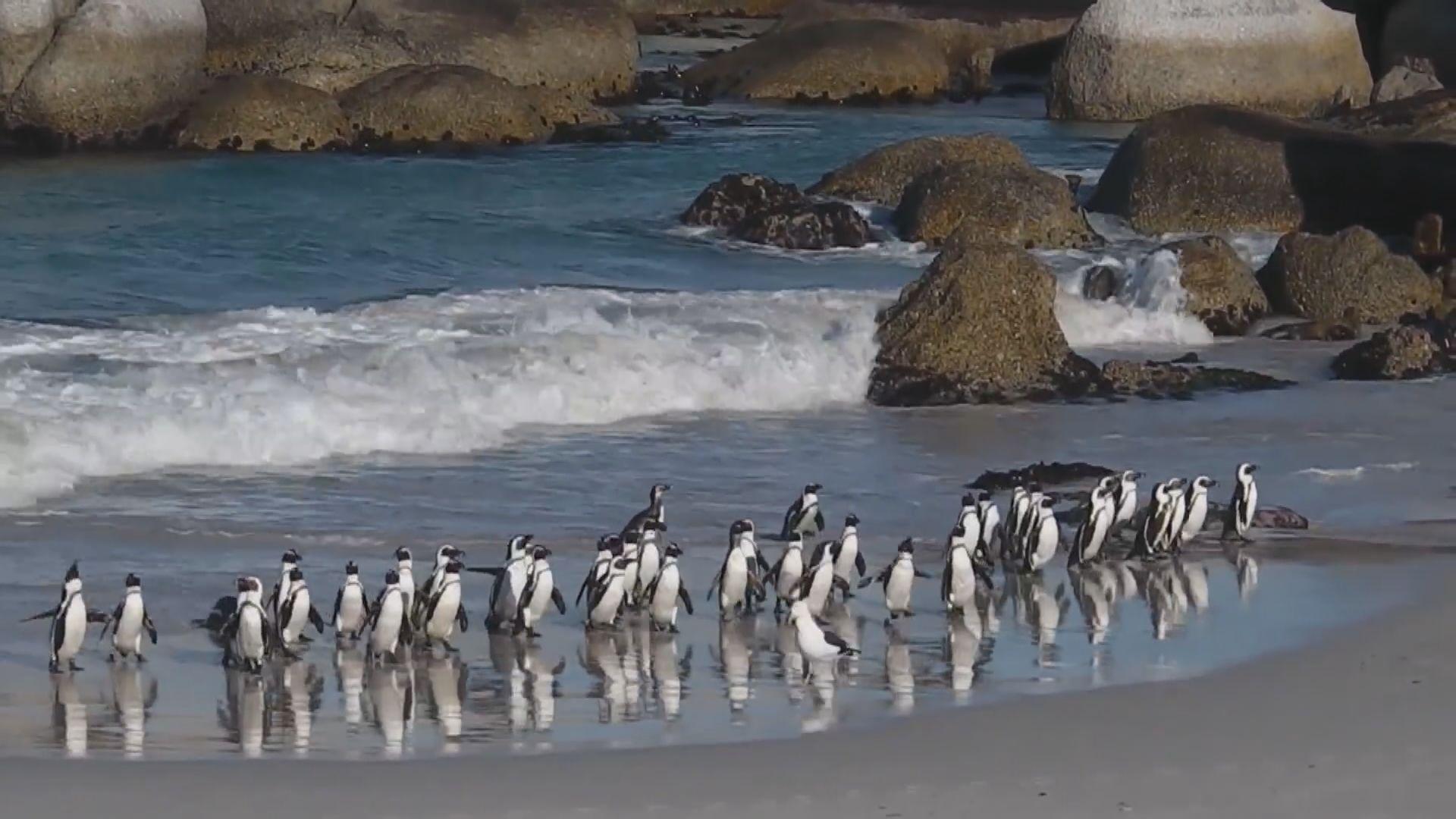 【環球薈報】南非63隻瀕危黑腳企鵝被蜜蜂攻擊死亡