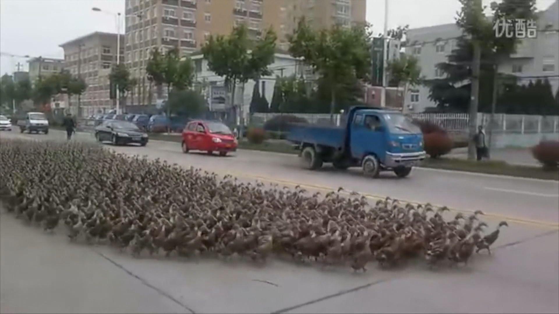 【環球薈報】傳中國派十萬鴨子往巴基斯坦治蝗