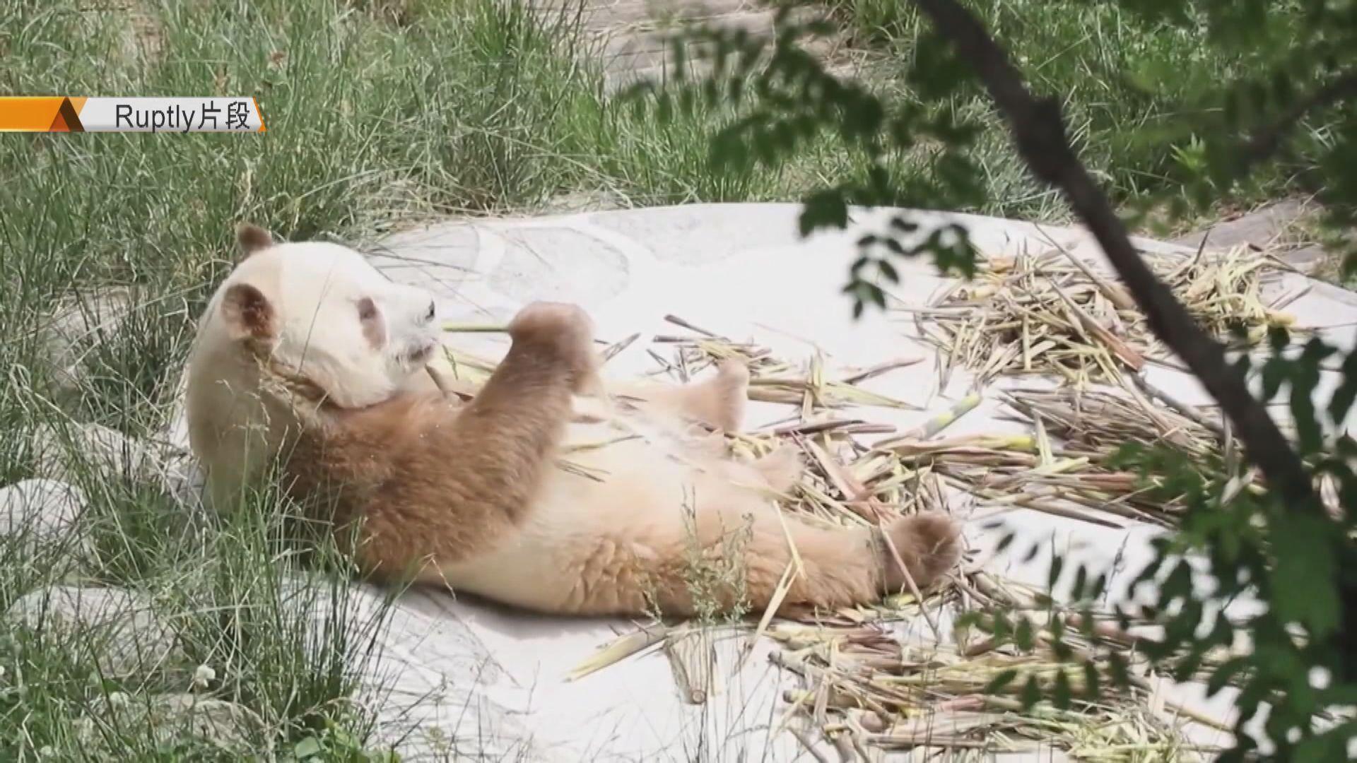 【環球薈報】全球唯一圈養棕色大熊貓「七仔」首見公眾