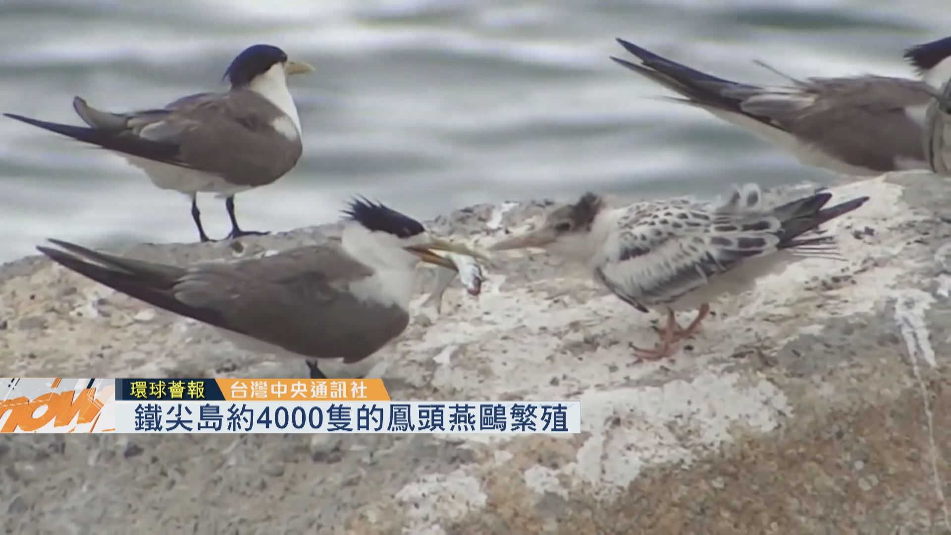 【環球薈報】鐵尖島約4000隻燕鷗繁殖