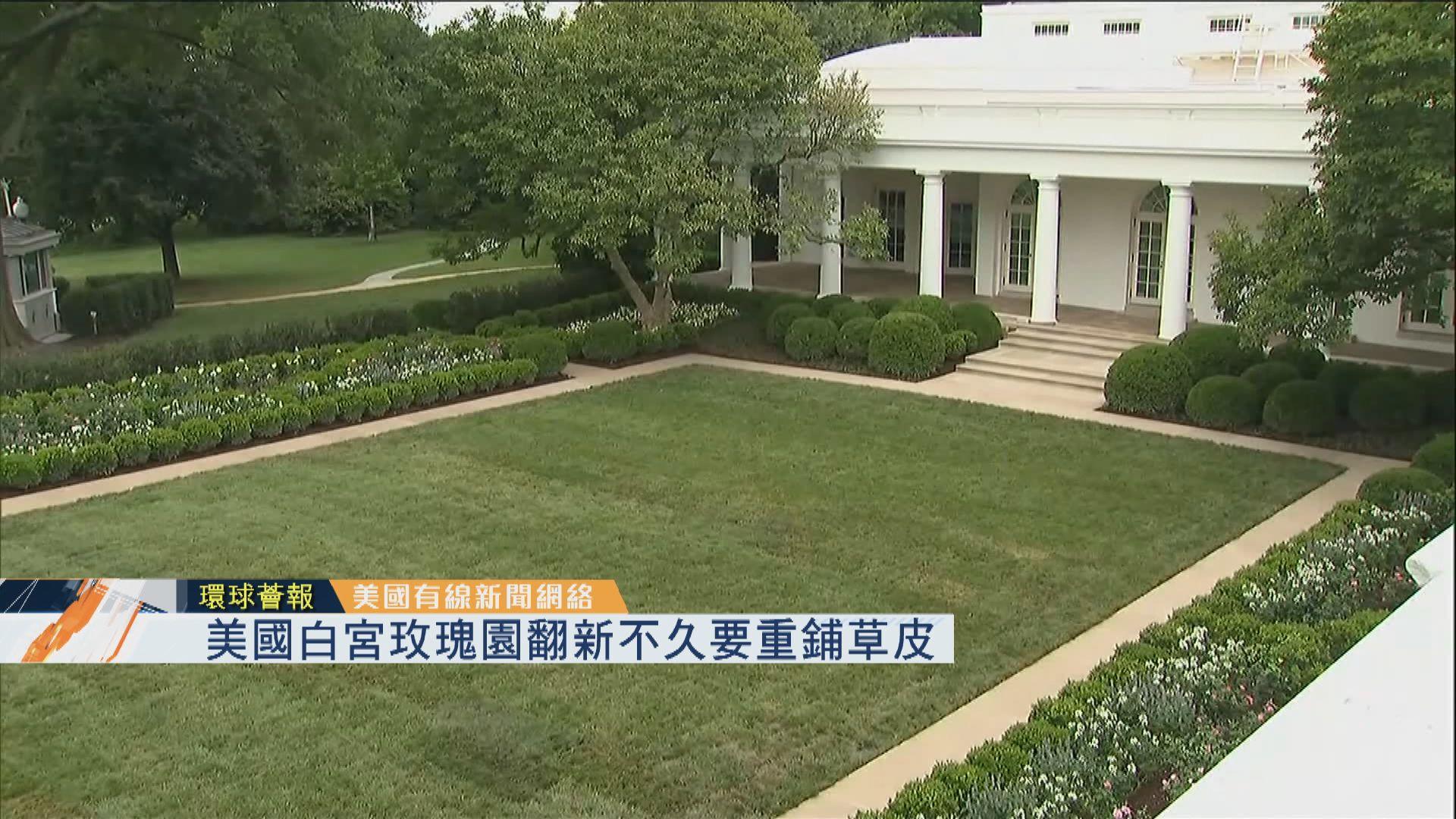 【環球薈報】美國白宮玫瑰園翻新不久要重鋪草皮
