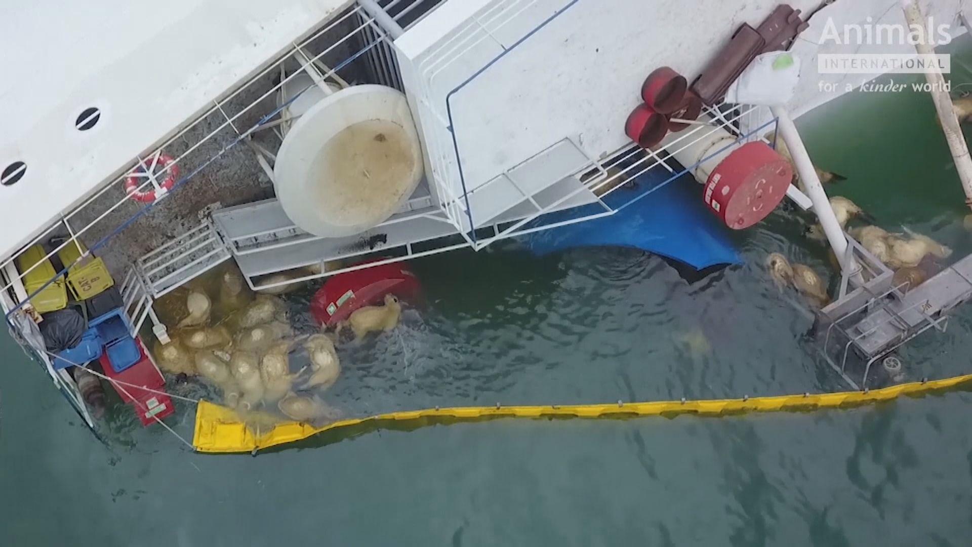 【環球薈報】羅馬尼亞貨船翻側過萬羊隻凶多吉少