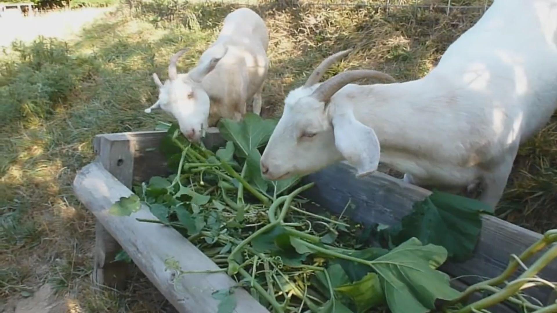 【環球薈報】研究發現山羊較傾向吃要花心思取得的食物