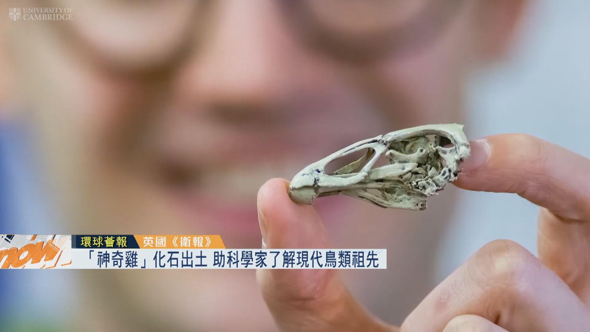 【環球薈報】「神奇雞」化石出土 助了解現代鳥類祖先