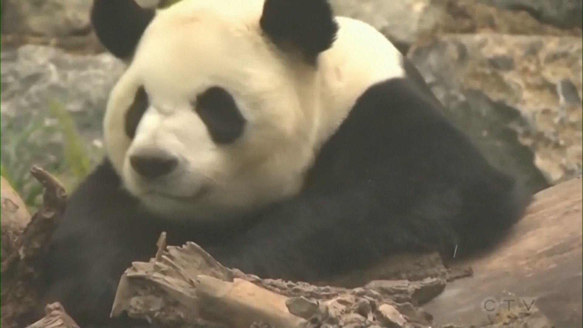 【環球薈報】疫情影響鮮竹供應 加國動物園提早送還大熊貓