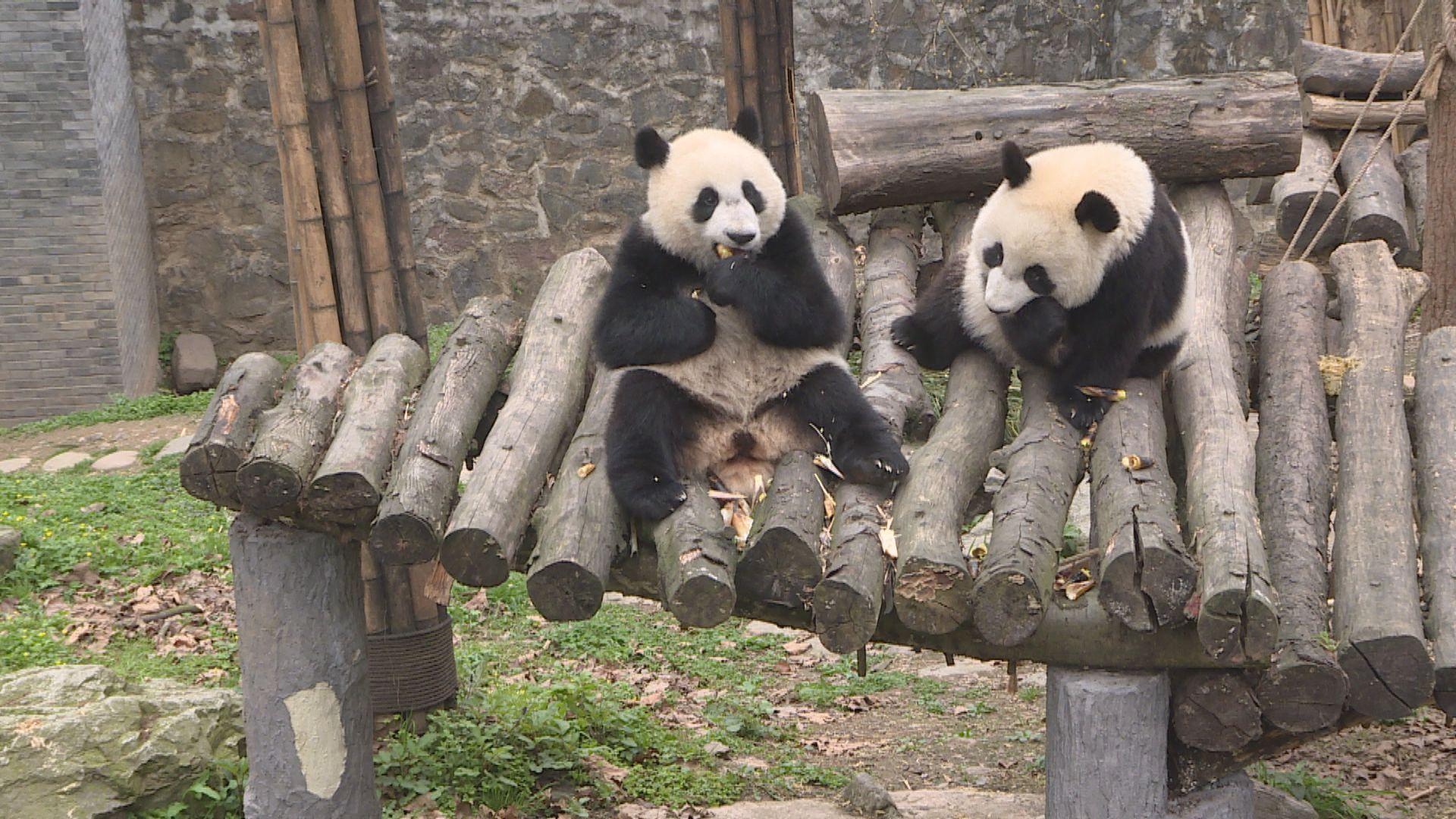 【環球薈報】研究指野生大熊貓會以馬糞保暖