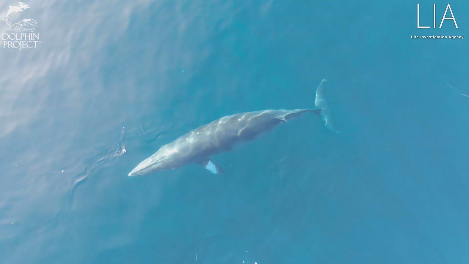 【環球薈報】日本太地町有小鬚鯨被困漁網多日