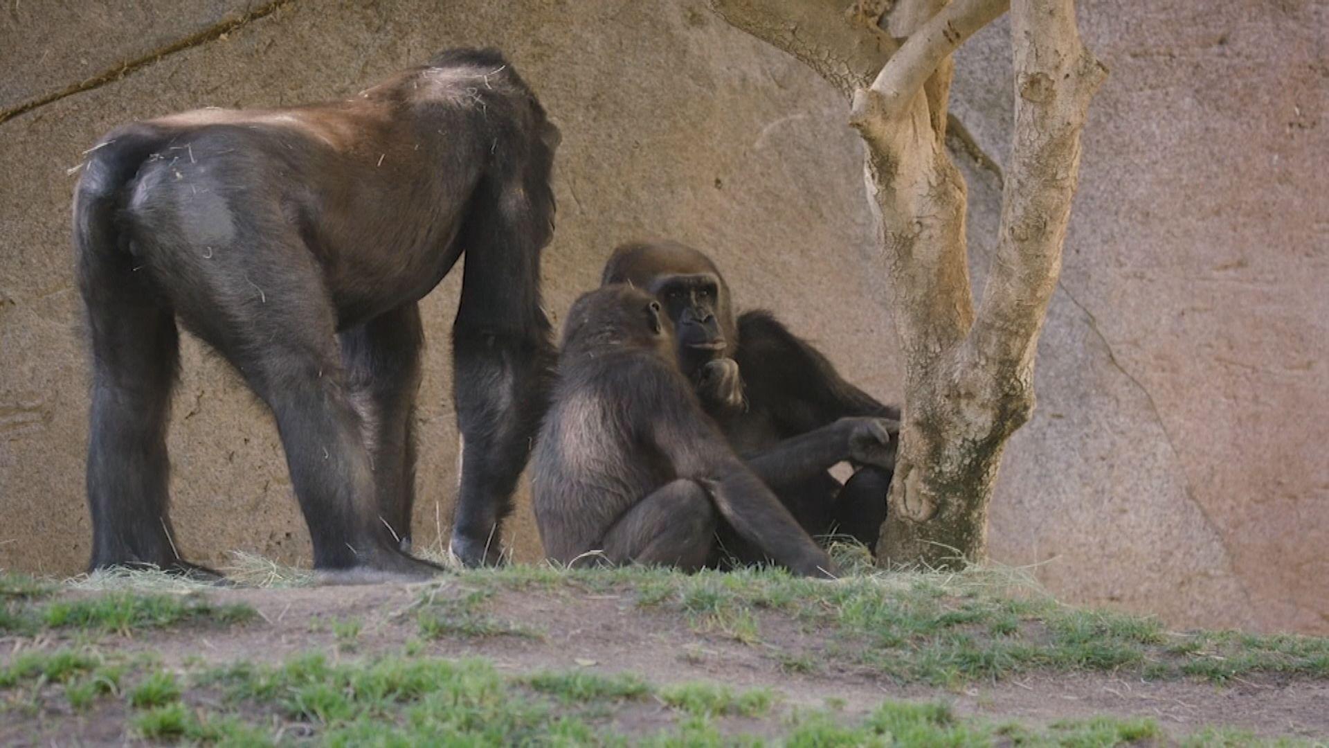 【環球薈報】動物園首次有大猩猩確診新冠病毒
