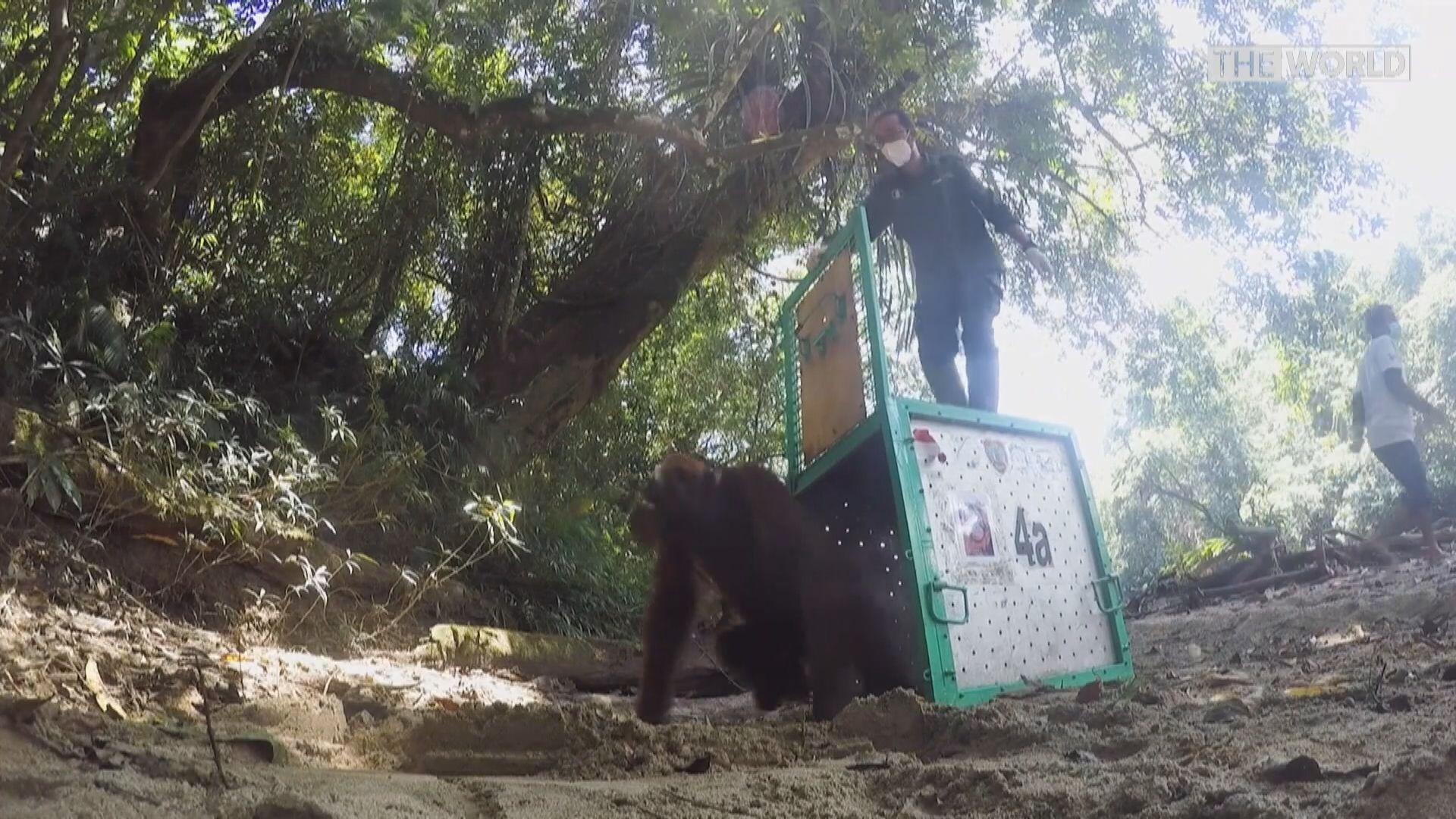 【環球薈報】婆羅洲猩猩放歸野外因疫情停頓近一年