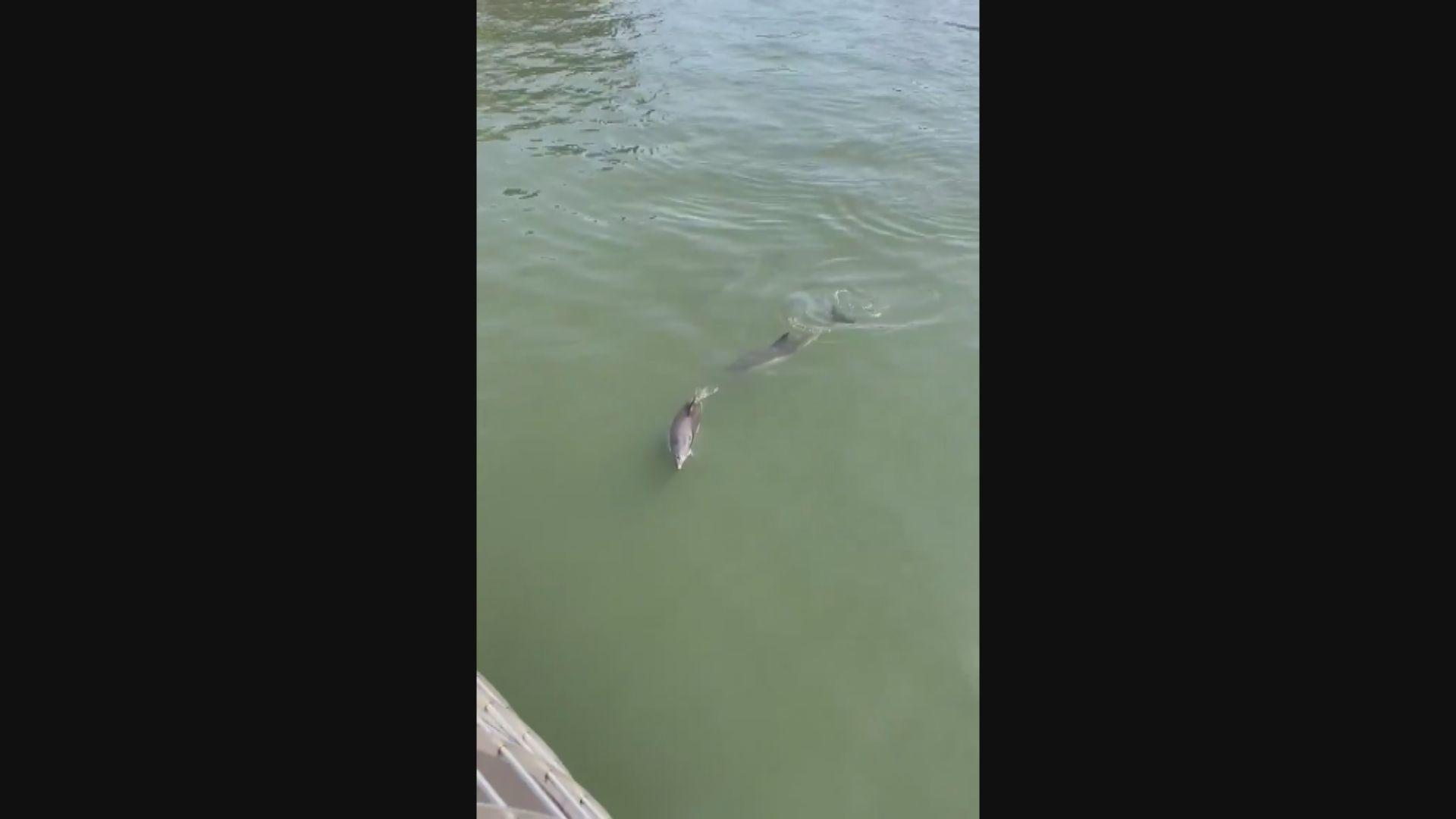 【環球薈報】紐約東河河水質改善 海豚再次出現