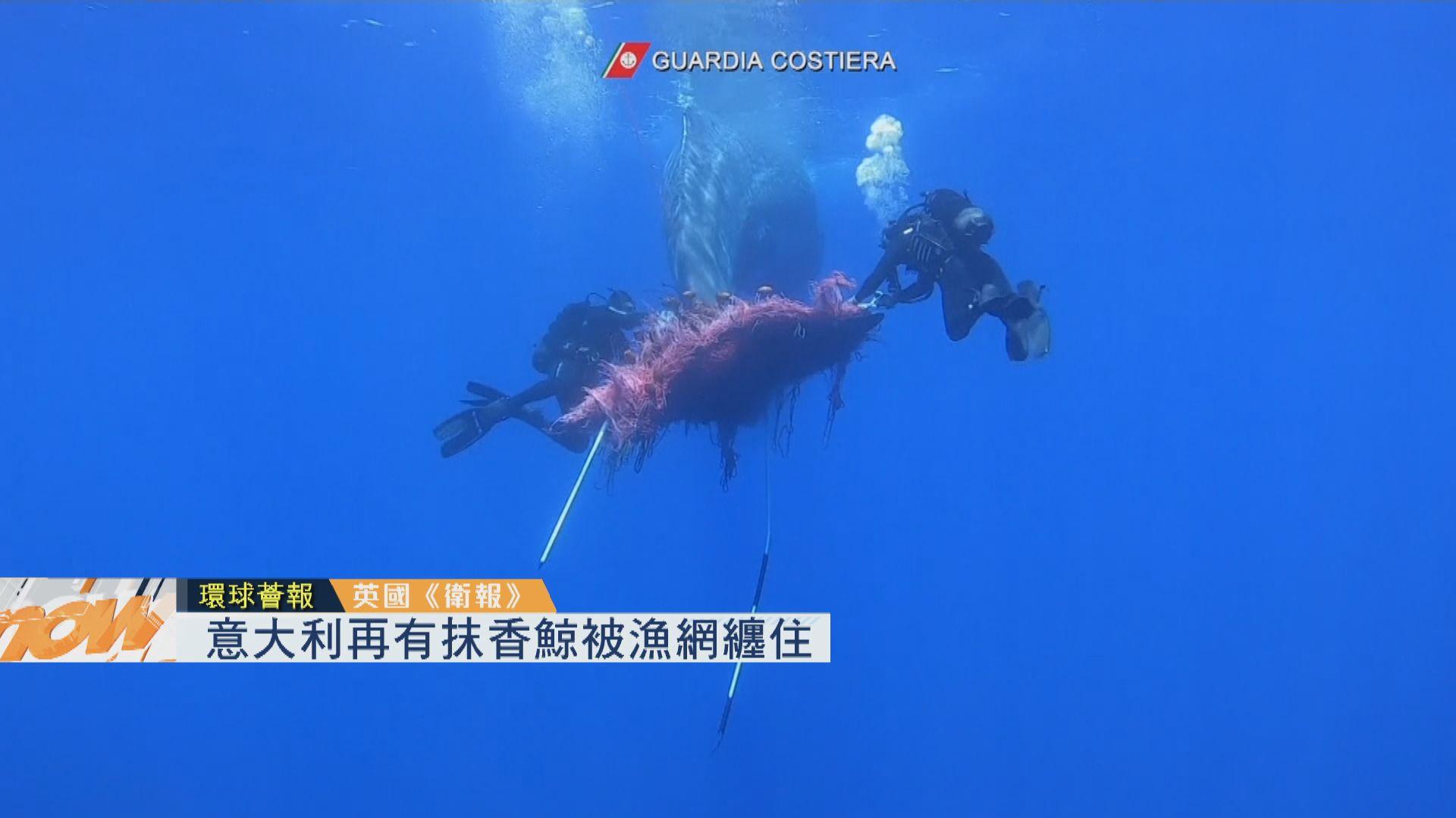【環球薈報】意大利再有抹香鯨被漁網纏住