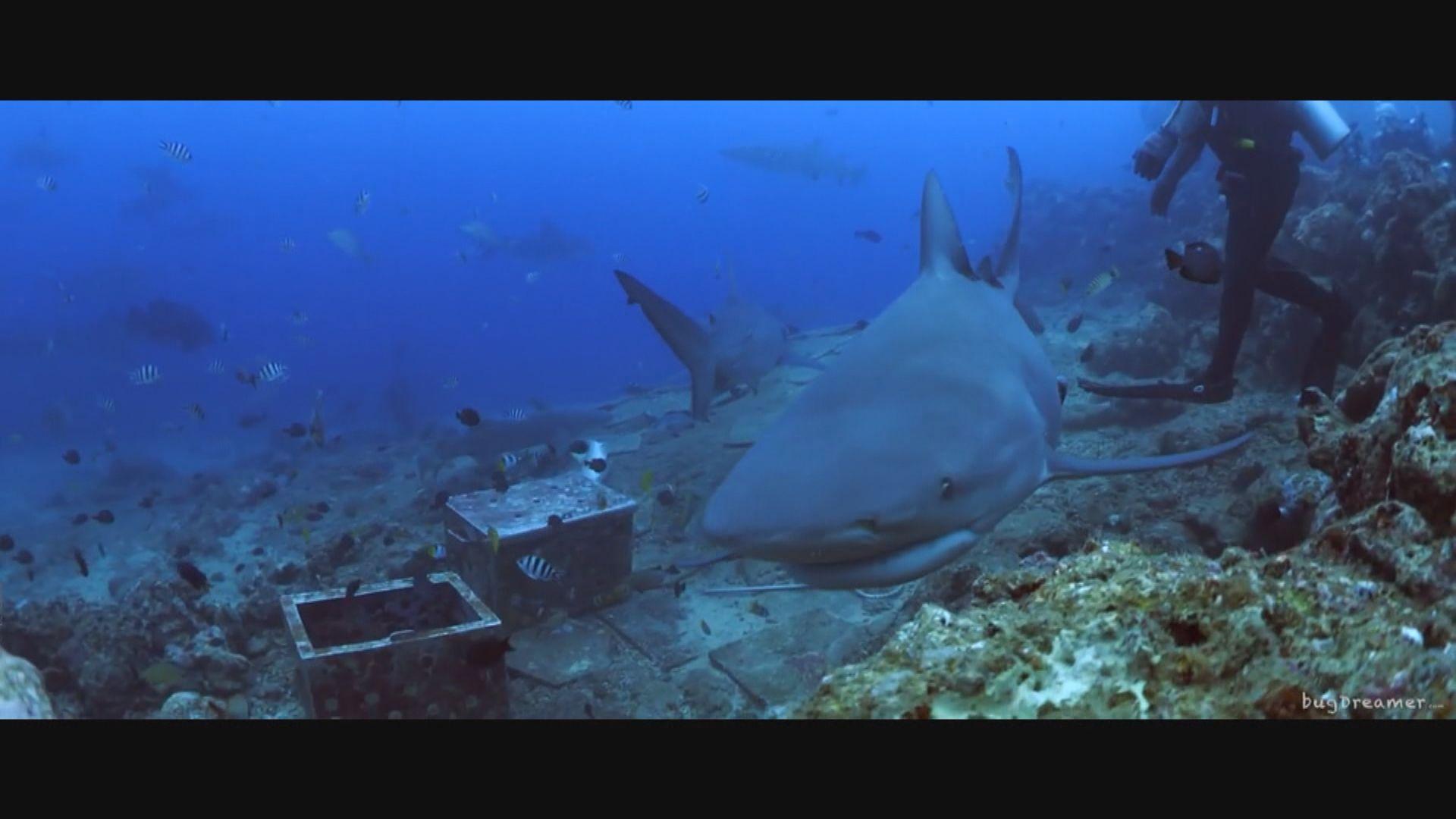 【環球薈報】研究發現低鰭真鯊也會交朋結友
