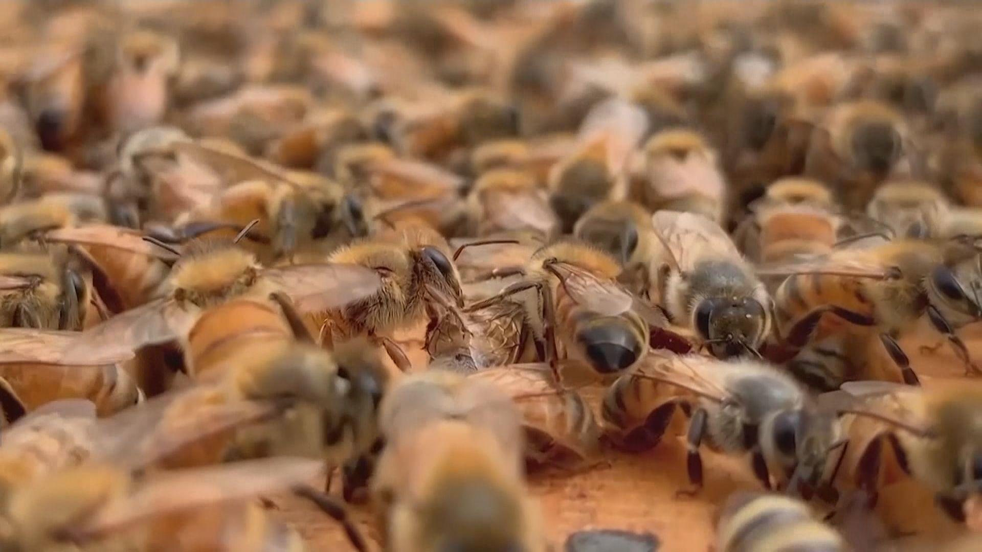 【環球薈報】研究指亞洲蜜蜂會以牲畜糞便「保護」蜂巢