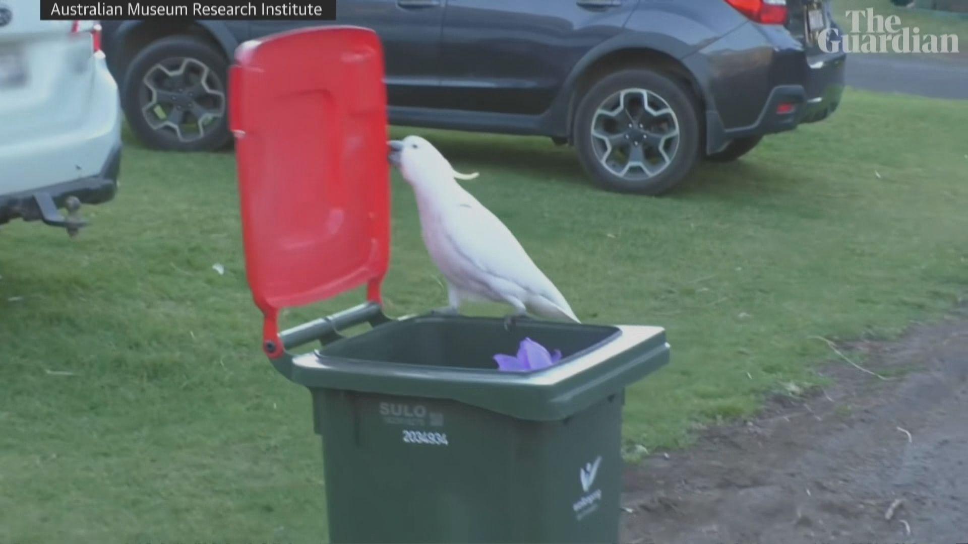 【環球薈報】澳洲有鸚鵡能互相學習打開垃圾桶蓋覓食