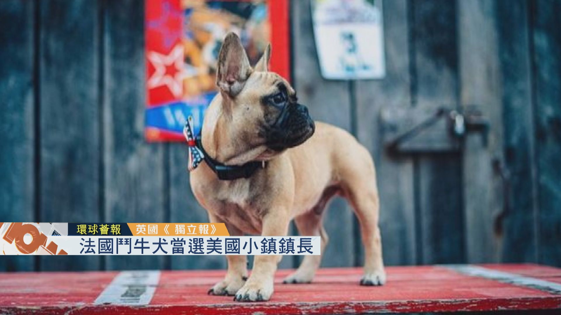 【環球薈報】法國鬥牛犬當選美國小鎮鎮長