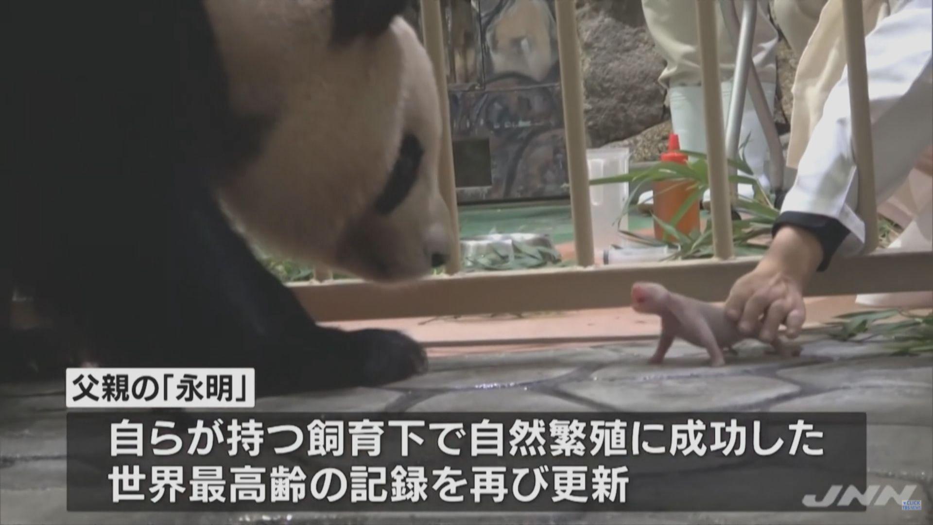 【環球薈報】在日大熊貓良濱誕下熊貓寶寶