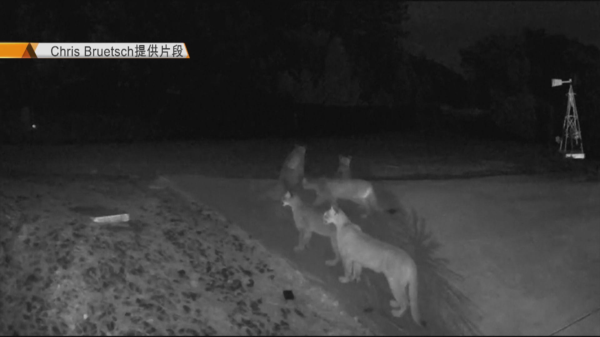 【環球薈報】加州五隻美洲獅罕有同場