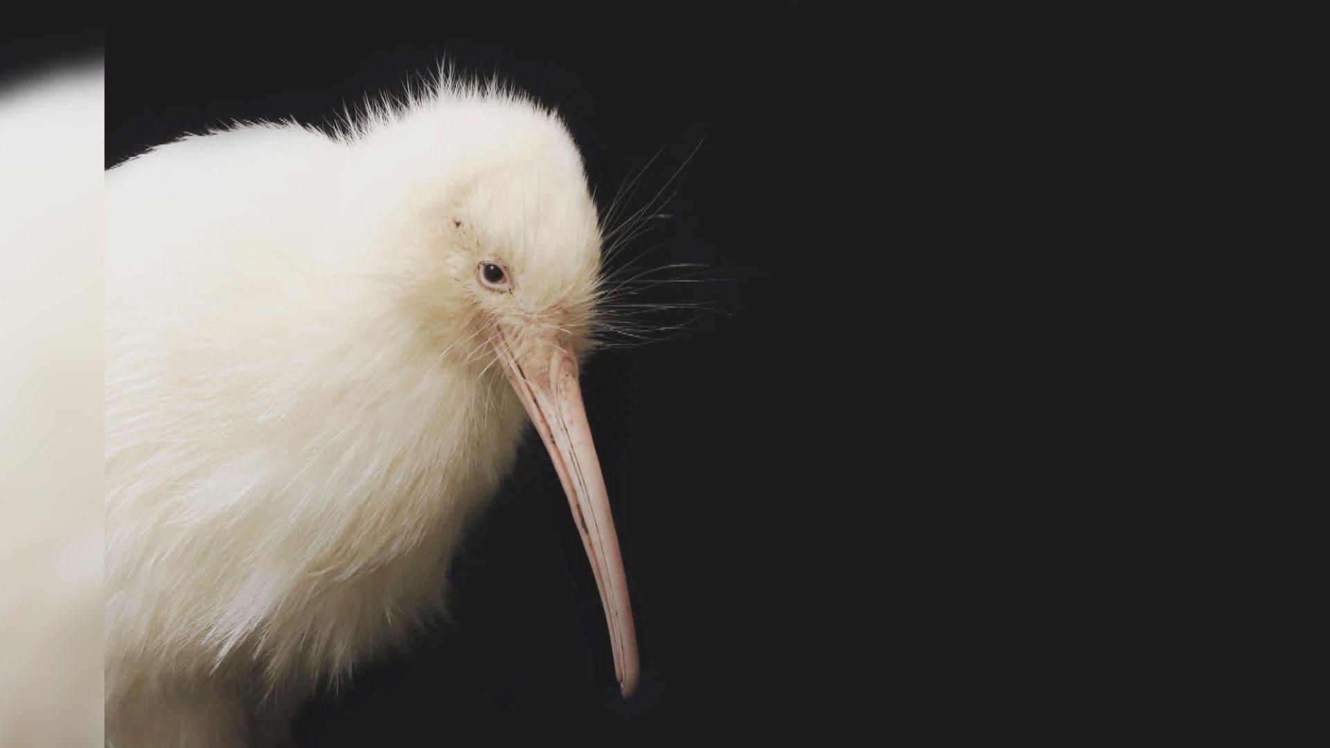 【環球薈報】新西蘭白色奇異鳥馬努庫拉逝世