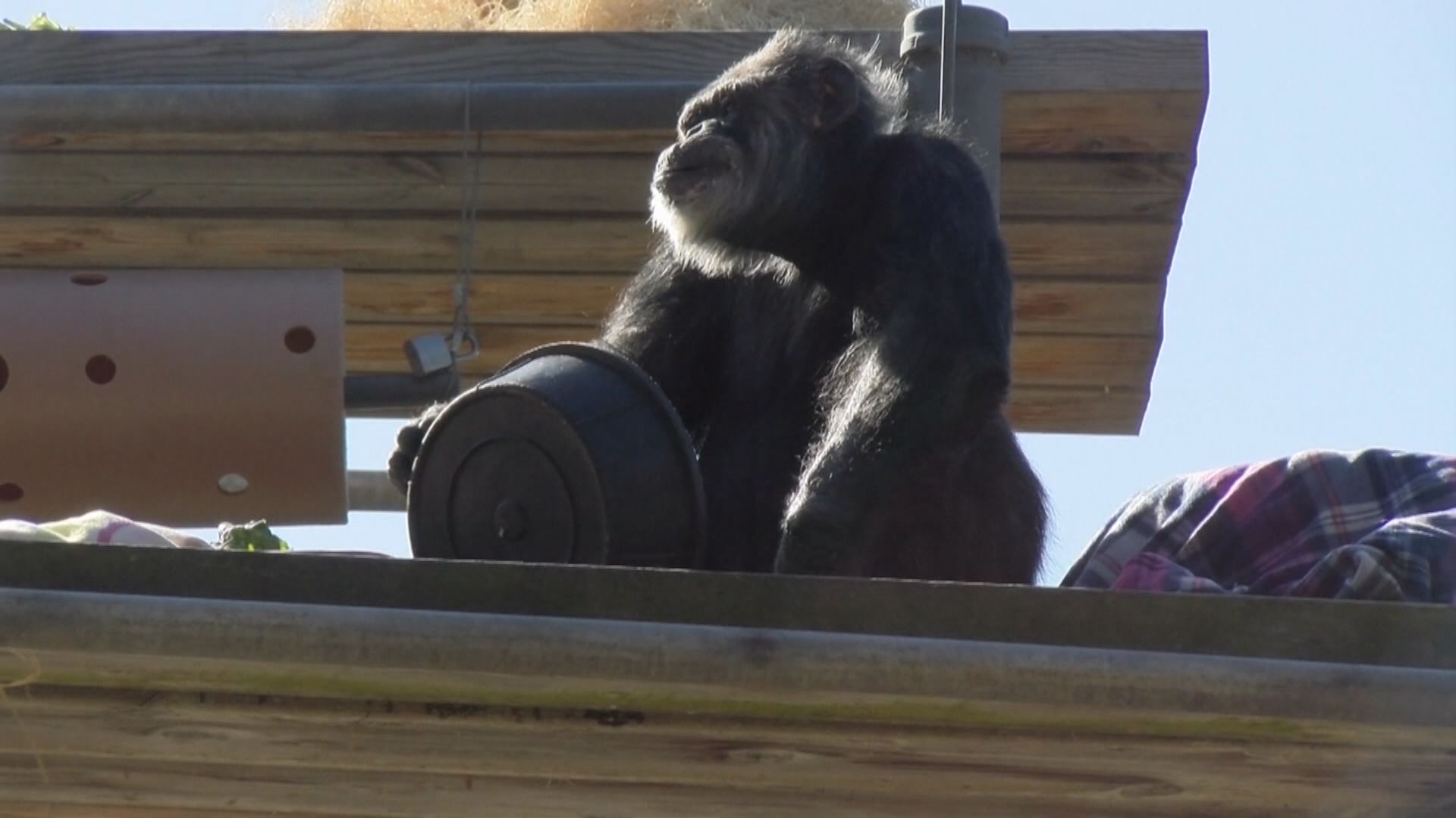 【環球薈報】全美最年長圈養雄性黑猩猩離世