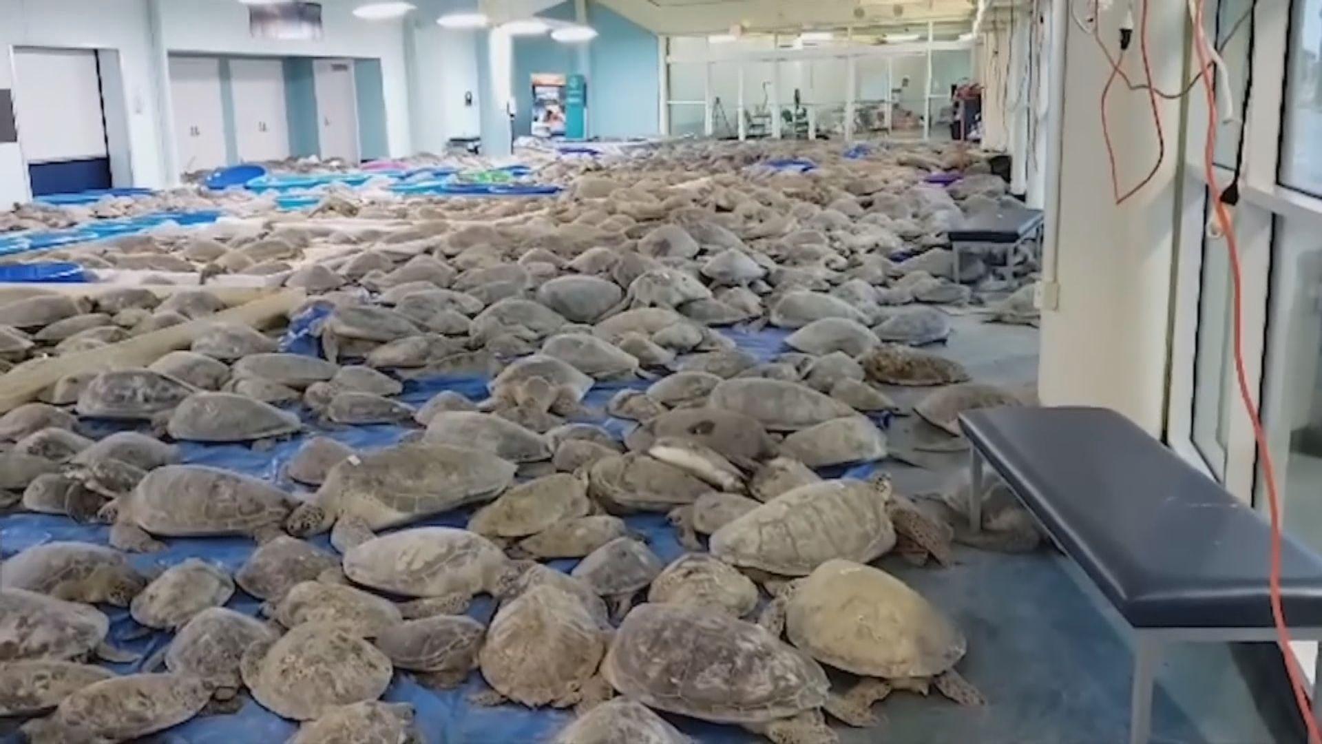 【環球薈報】美國保育組織搶救逾三千隻受極寒天氣威脅的海龜